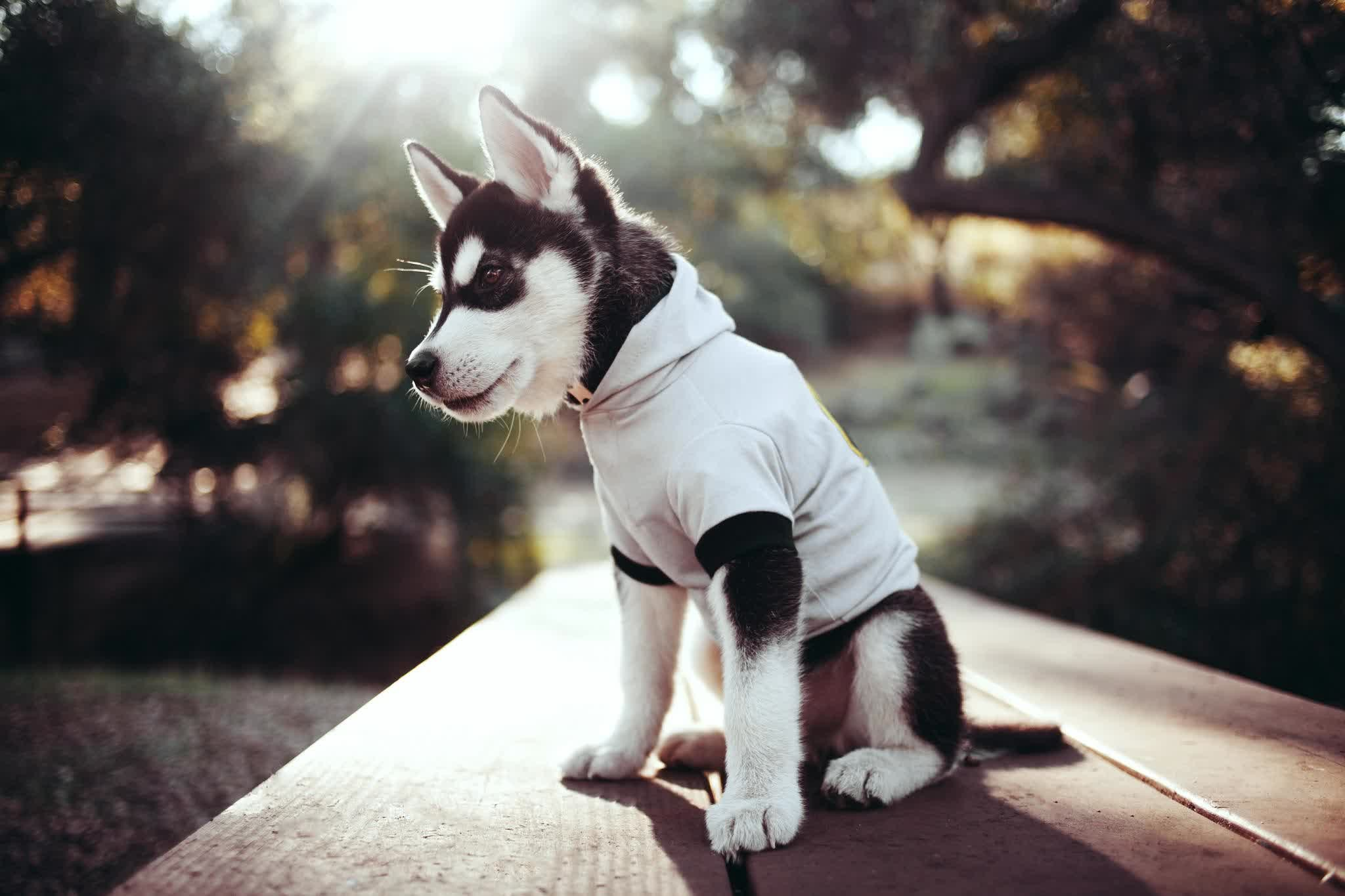 Cute Siberian Husky HD Wallpaper