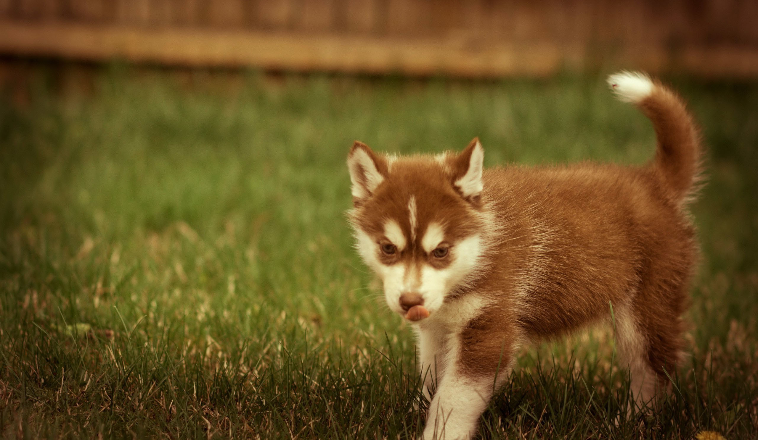Husky Puppy Wallpapers Android – Bhstorm.com