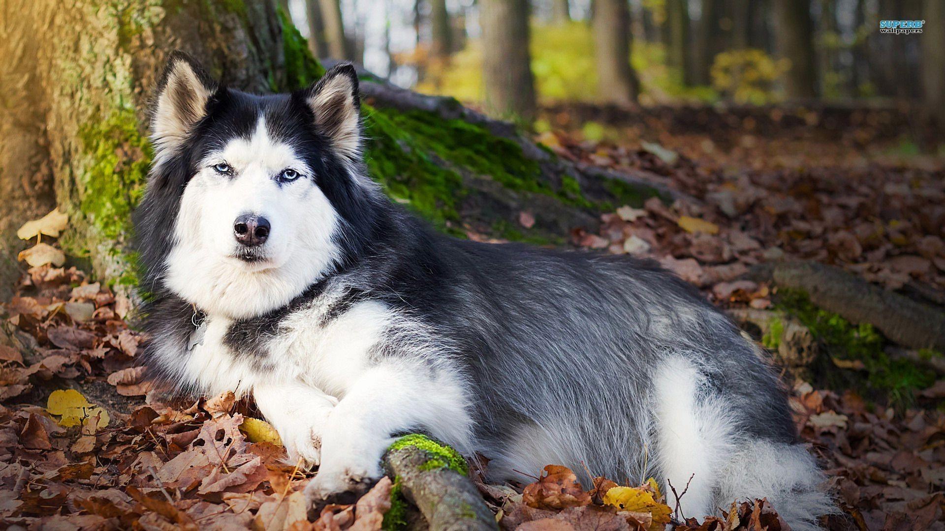 Siberian Husky wallpaper – Animal wallpapers – #16079