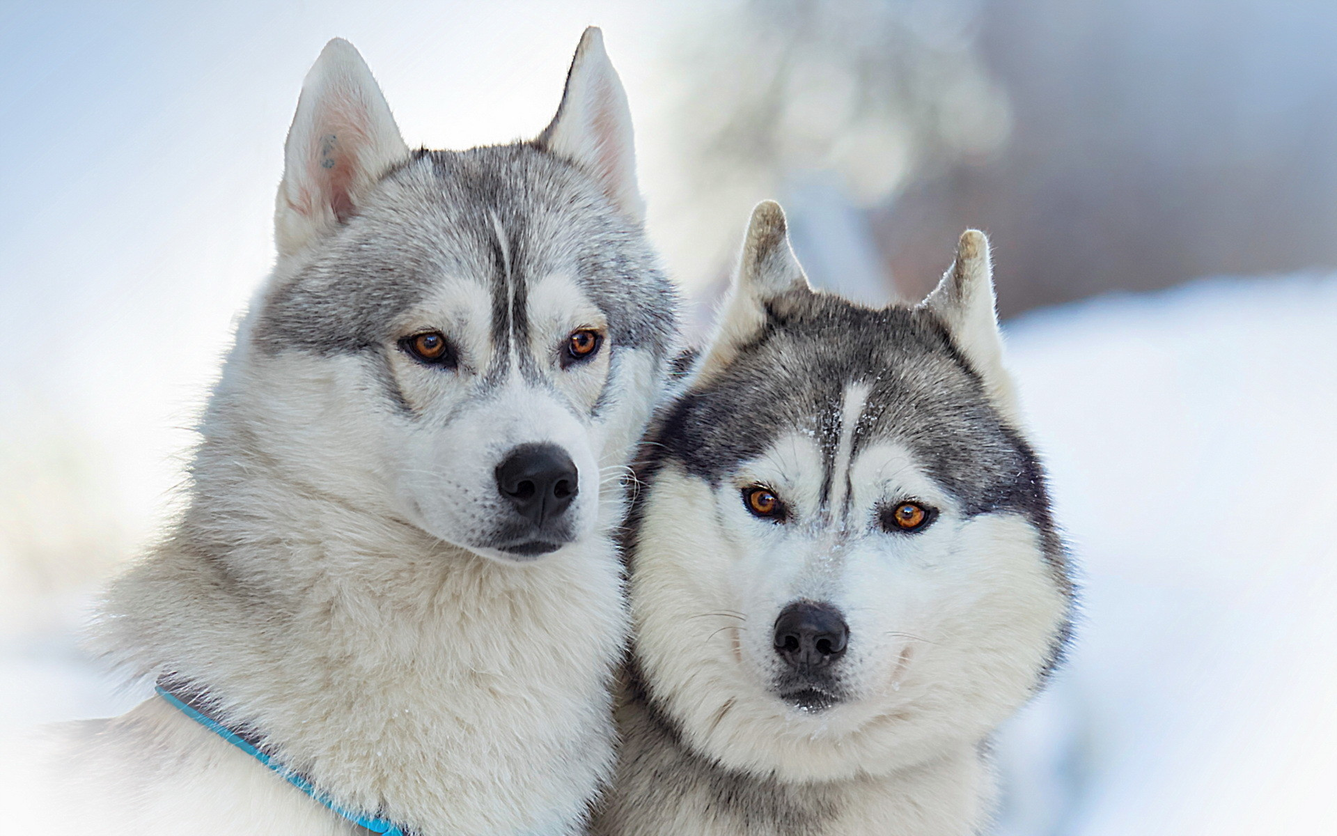 Portrait of Alaskan Malamutes wallpapers and images – wallpapers .