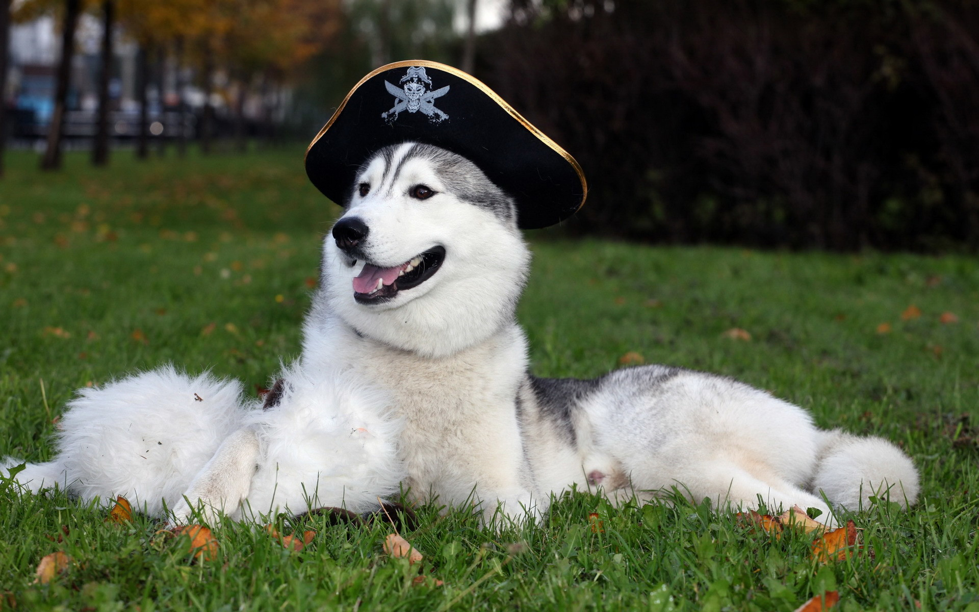 awesome husky dog with hat uhd wallpapers