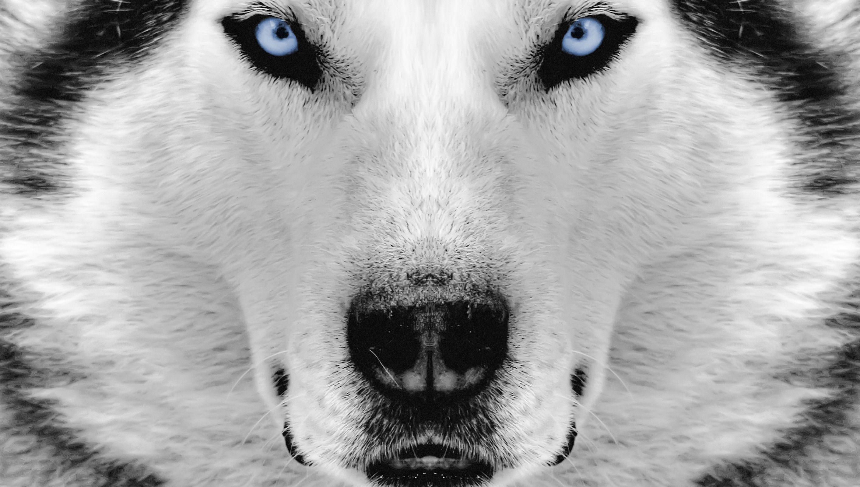 Siberian Husky Cool Wallpaper