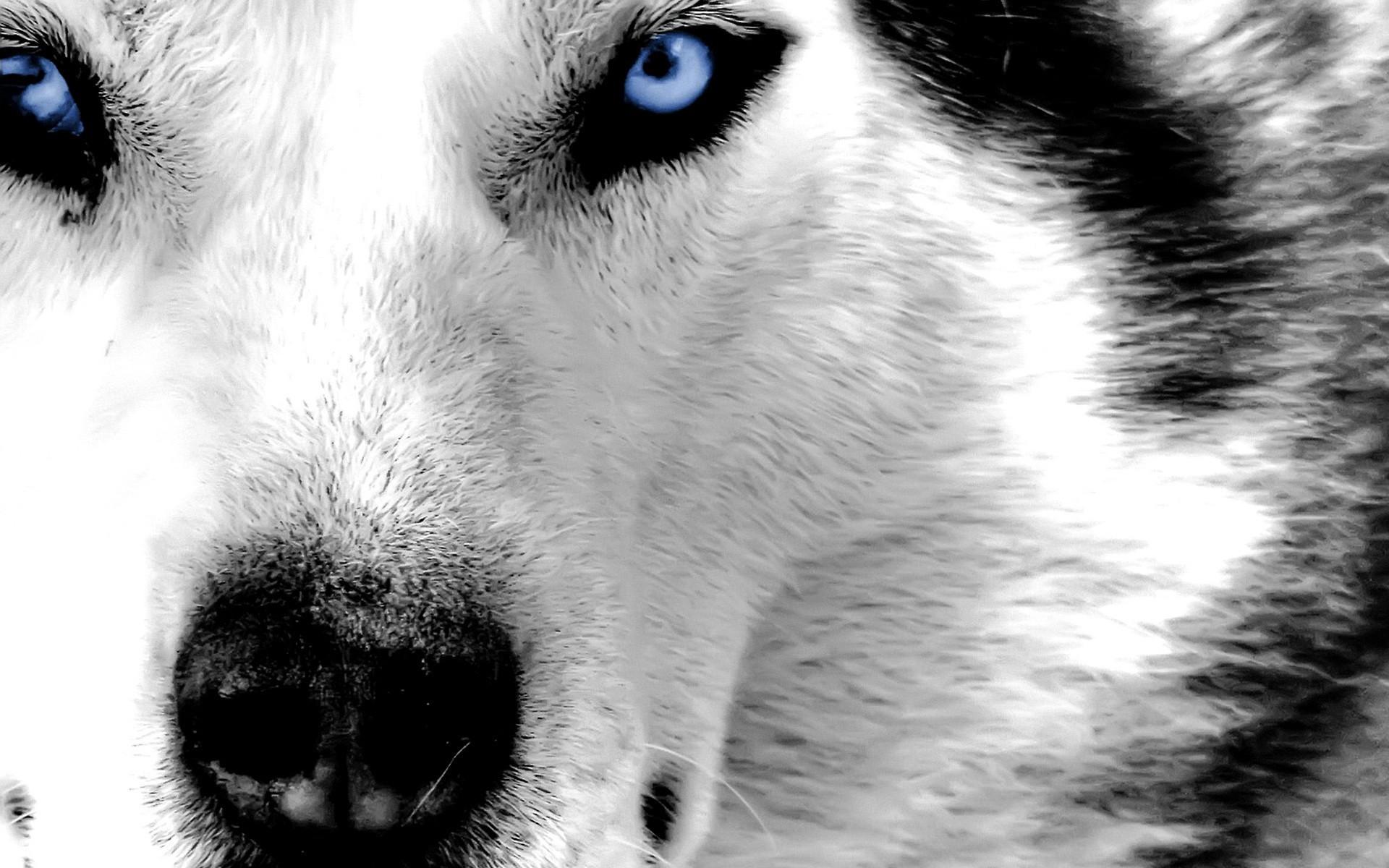 Husky puppies wallpaper. Husky puppies w Siberian husky dog with blue Image
