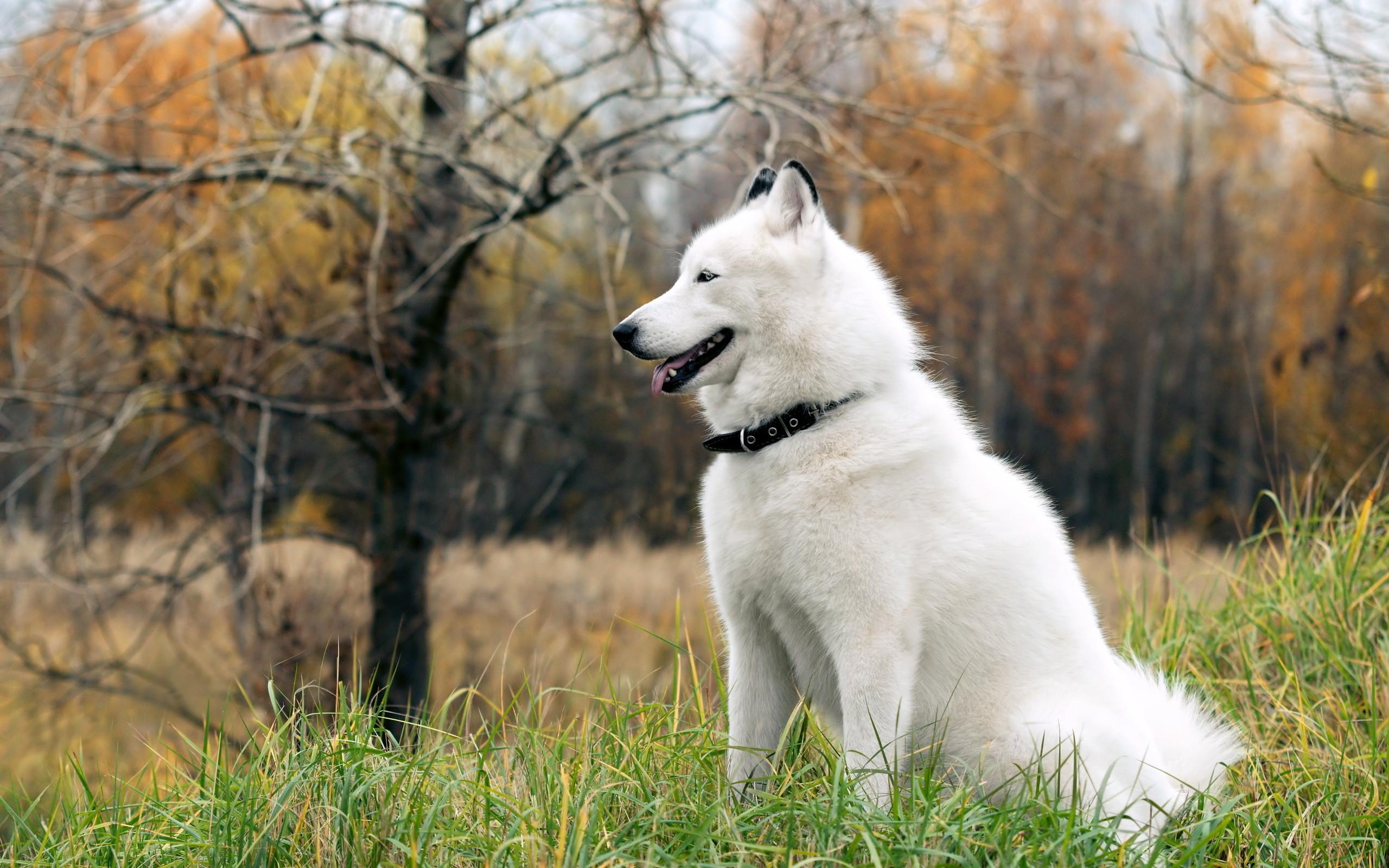 siberian husky dog white radiope desktop wallpaper download siberian .