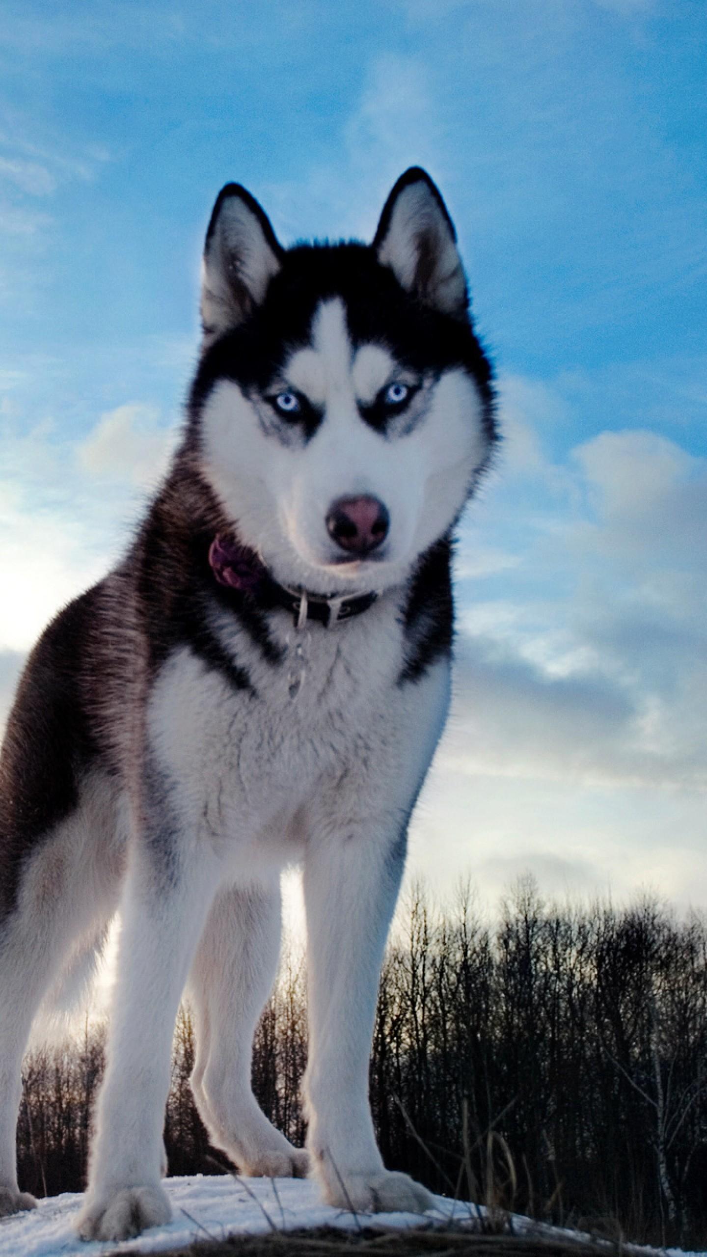 Preview wallpaper husky, dog, hill, snow 1440×2560