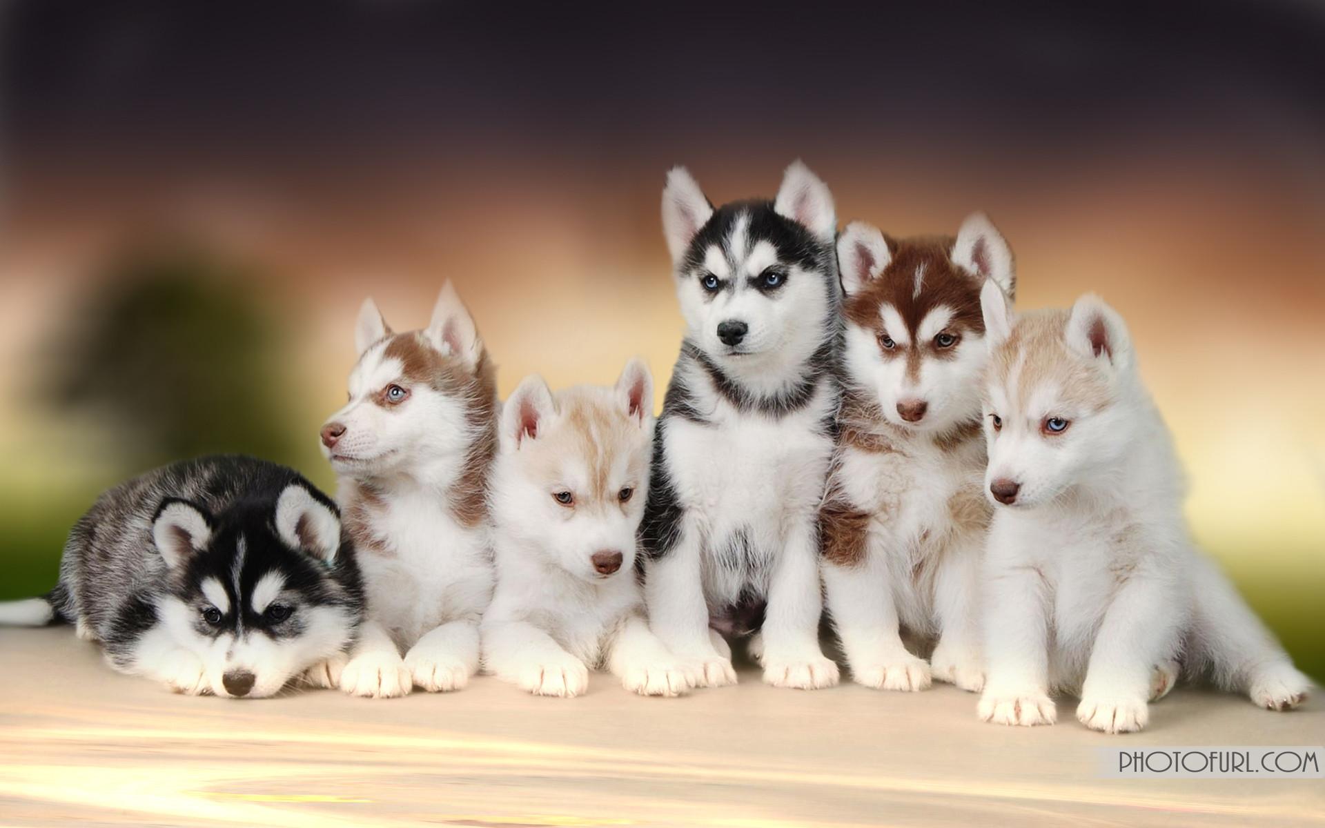 Photography Dogs Husky