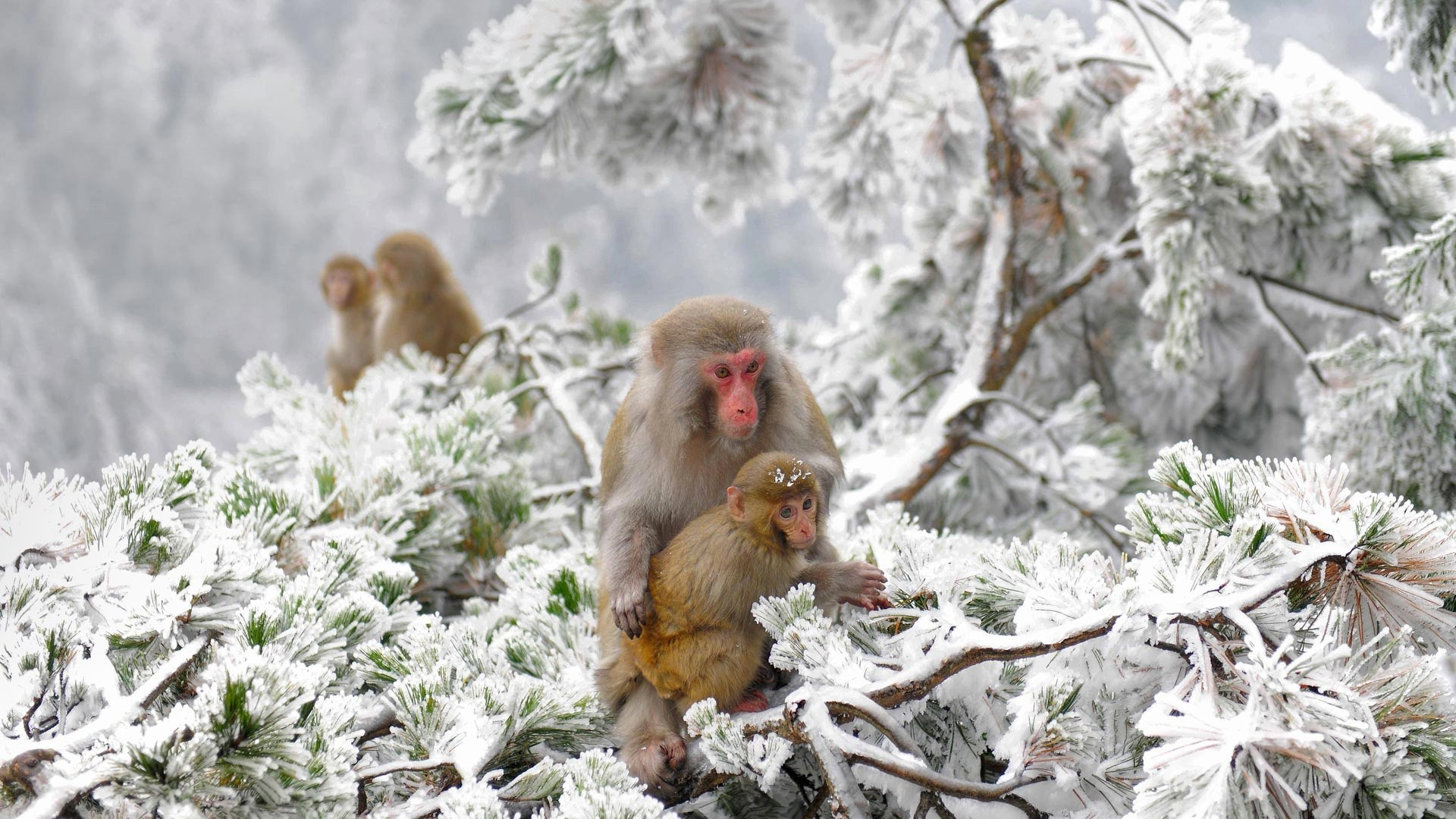 animals, Nature, Japan, Winter, Apes, Snow, Cold Wallpapers HD / Desktop  and Mobile Backgrounds
