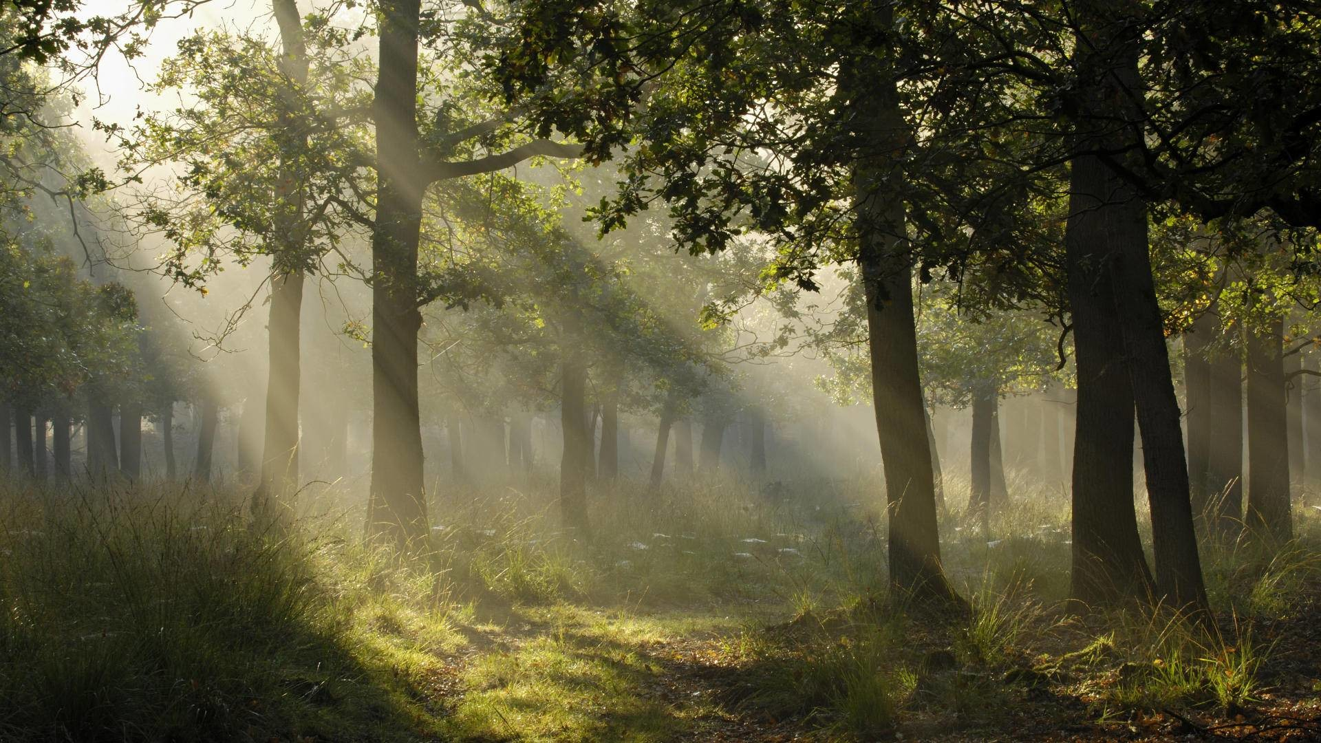 Mystical Light In A German Forest wallpapers HD free – 256631