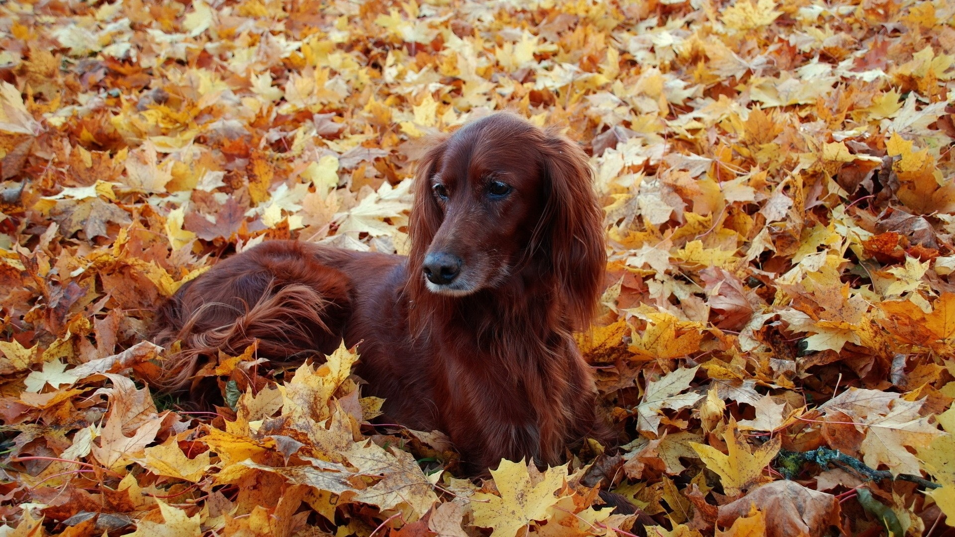 Wallpaper irish, setter, beautiful, autumn, leaves, lie