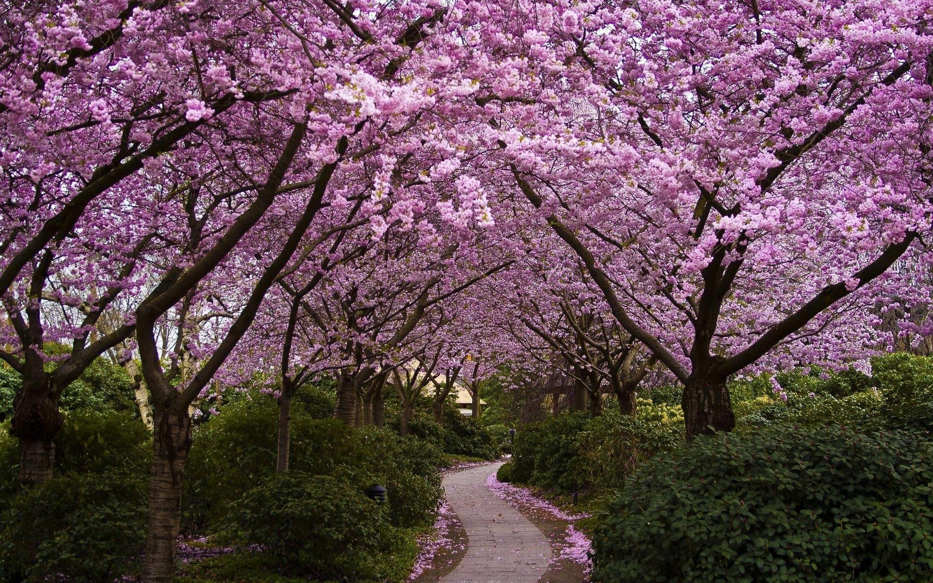 Path Hd Spring Wallpaper Simple White Classic Purple Pink Motive Sakura  Creative Decoration