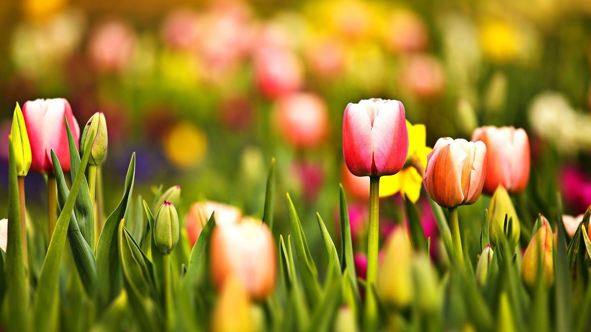 … Spring Tulip Desktop Wallpaper Wallpaper Hd. Download