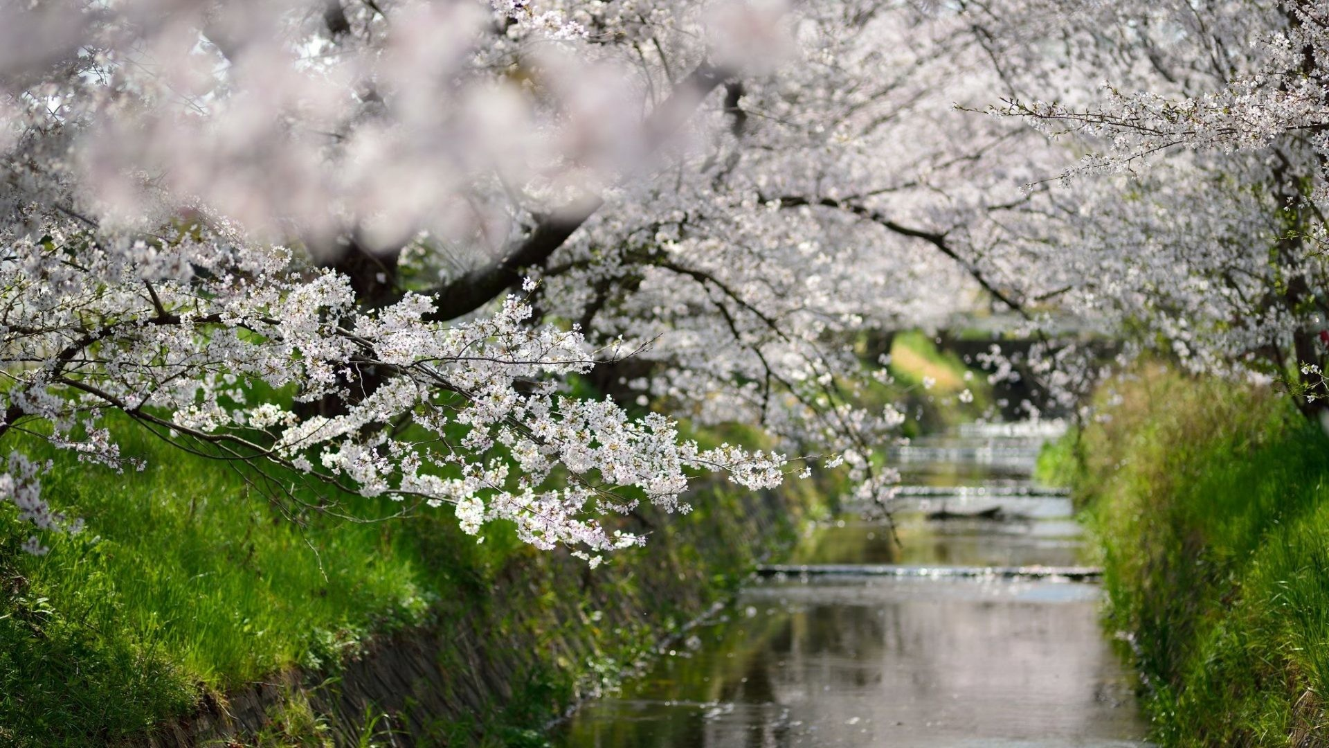 Blossoms Tag – Blossoms Leaves Sakura Walks Green Season Nature Places  Trees Cherry Osaka Beauty Flowers