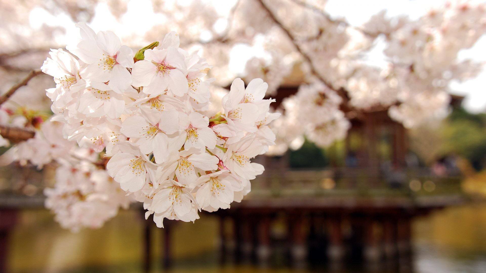 Japan Tag – Spring Japan Hd Nature Desktop Wallpapers Free Download for HD  16:9