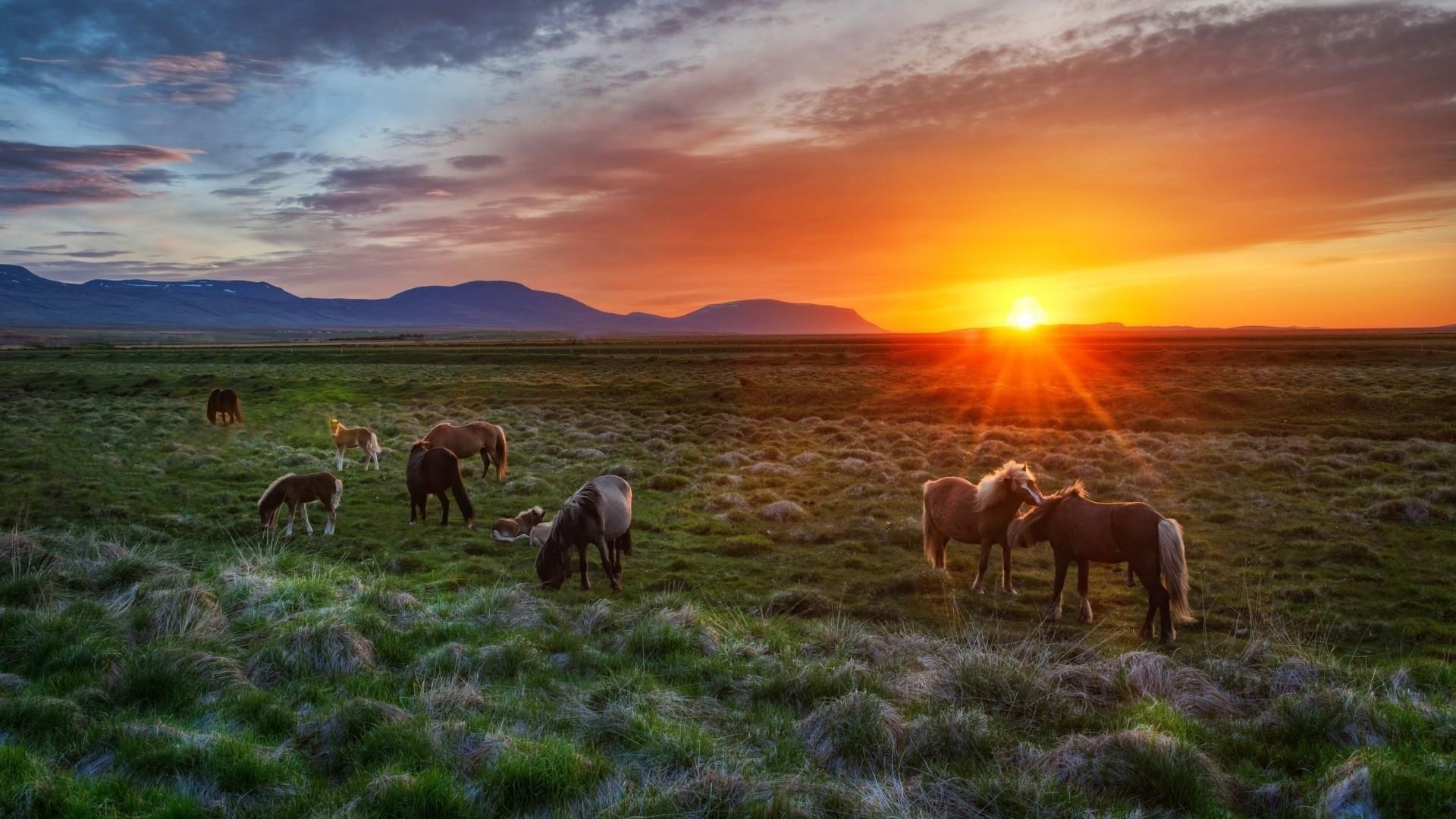 Wallpaper iceland, landscape, sunset, foals, horses
