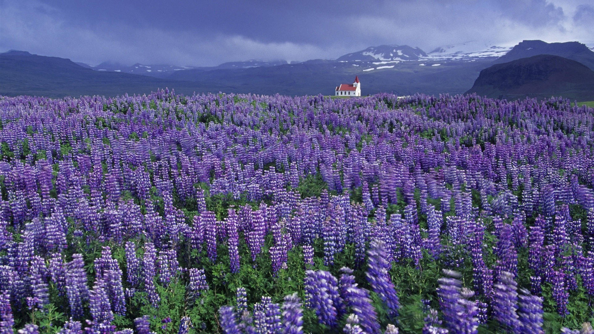 Wild Lupine Iceland wallpapers.