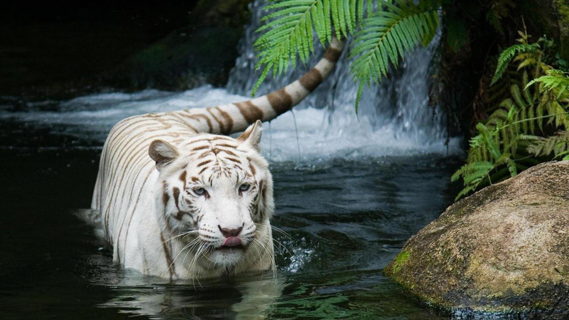 Tiger Wallpaper, HD, Wallpaper, 1080p, Widescreen, High .