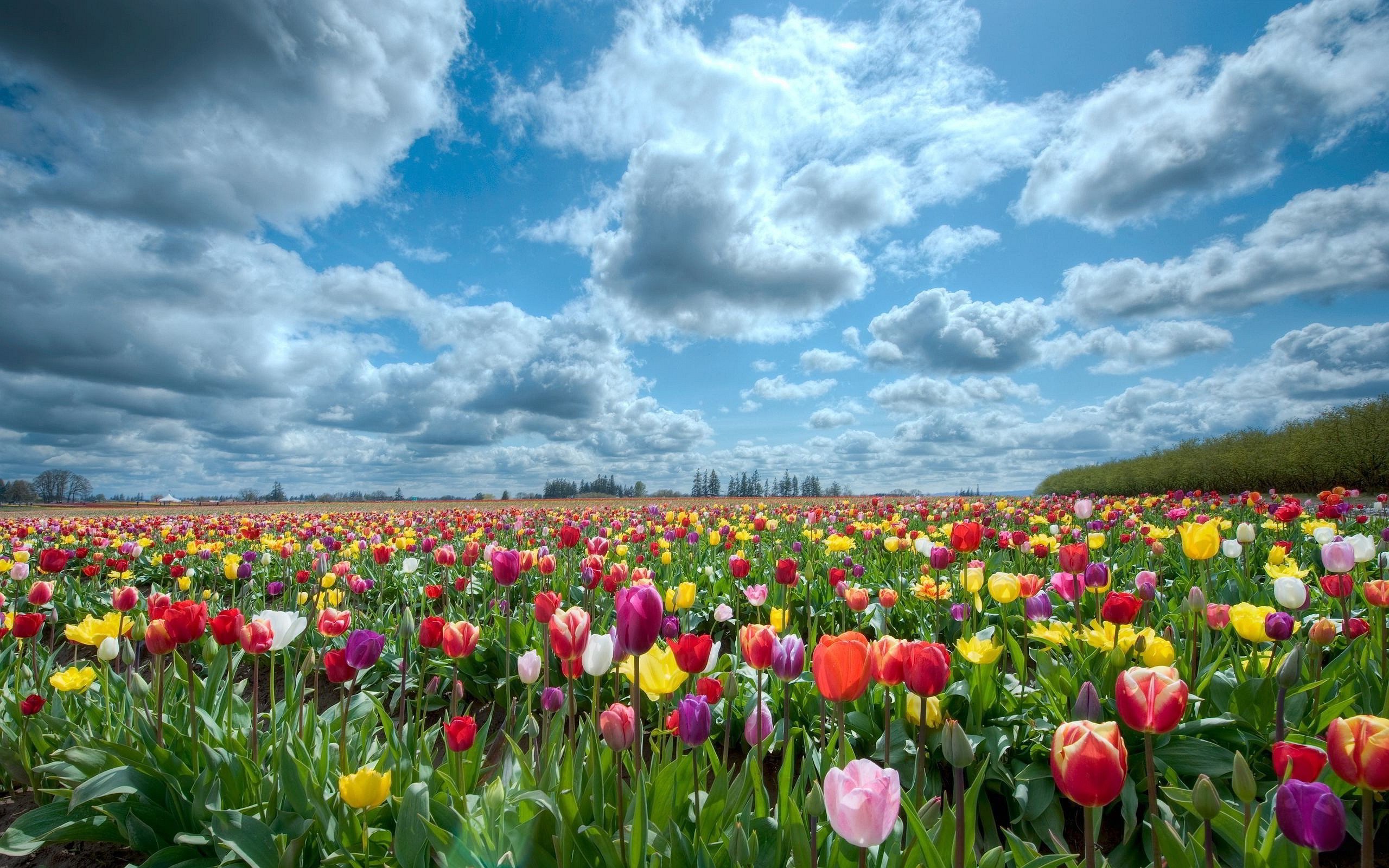 Tulips scenery Wallpapers | Pictures
