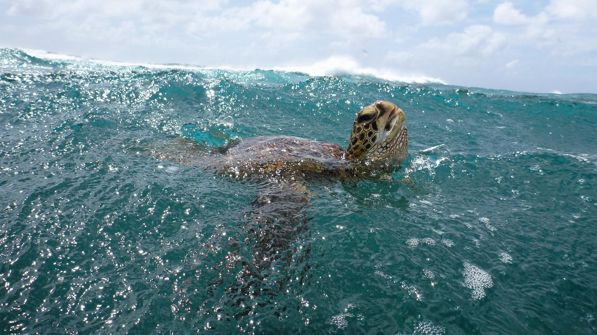 Turtle-Ocean-Wallpaper