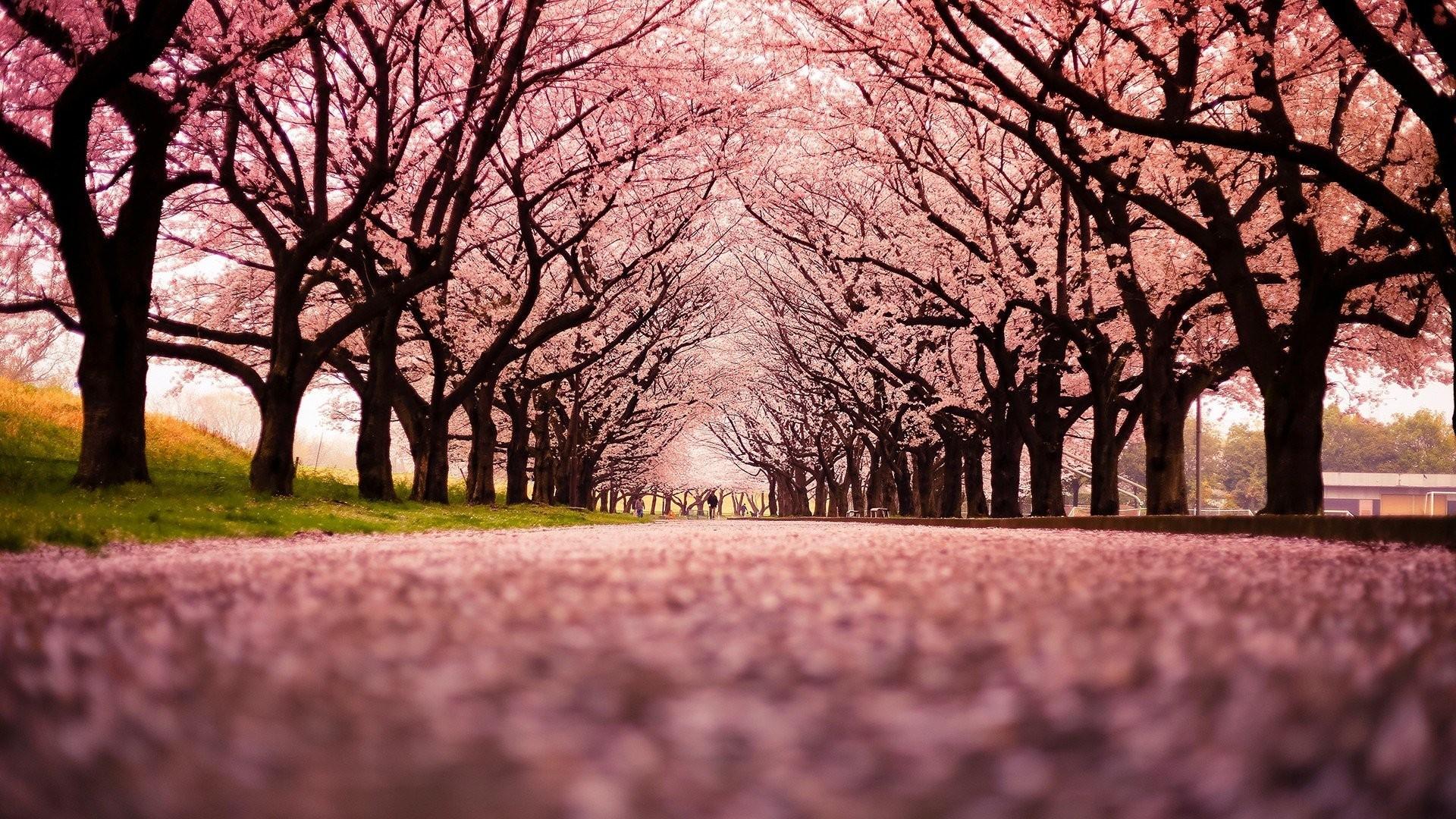 Trees Japan Peach Windows Desktop Wallpaper Nature Detail