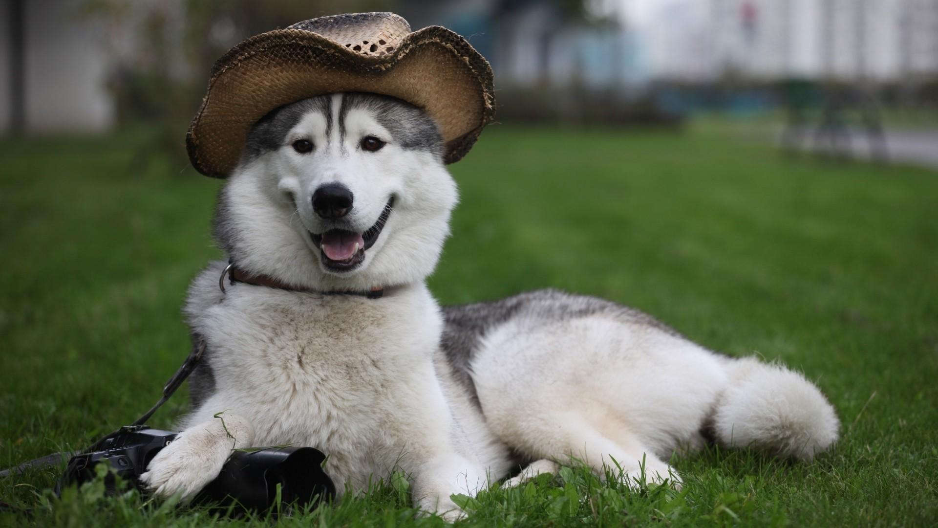 Wallpaper dog, furry, hat, white, lie