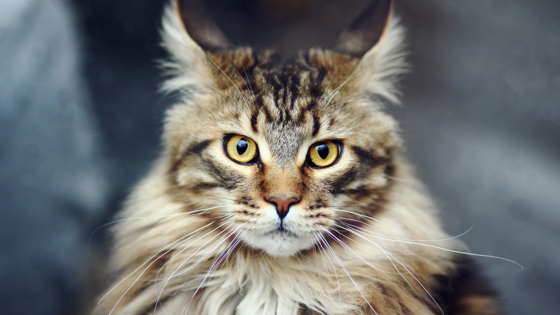 Preview wallpaper cat, face, furry, striped 1920×1080