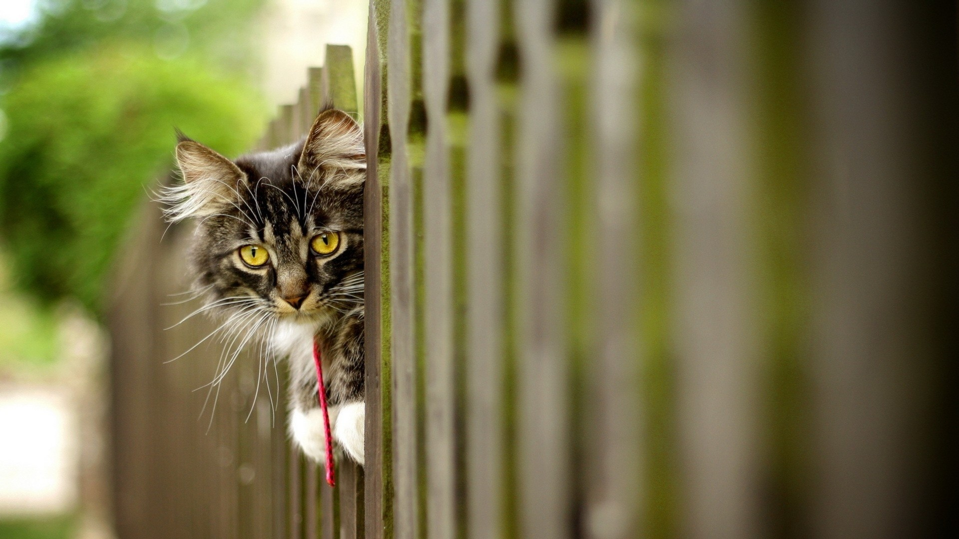 Wallpaper cat, furry, fence, face