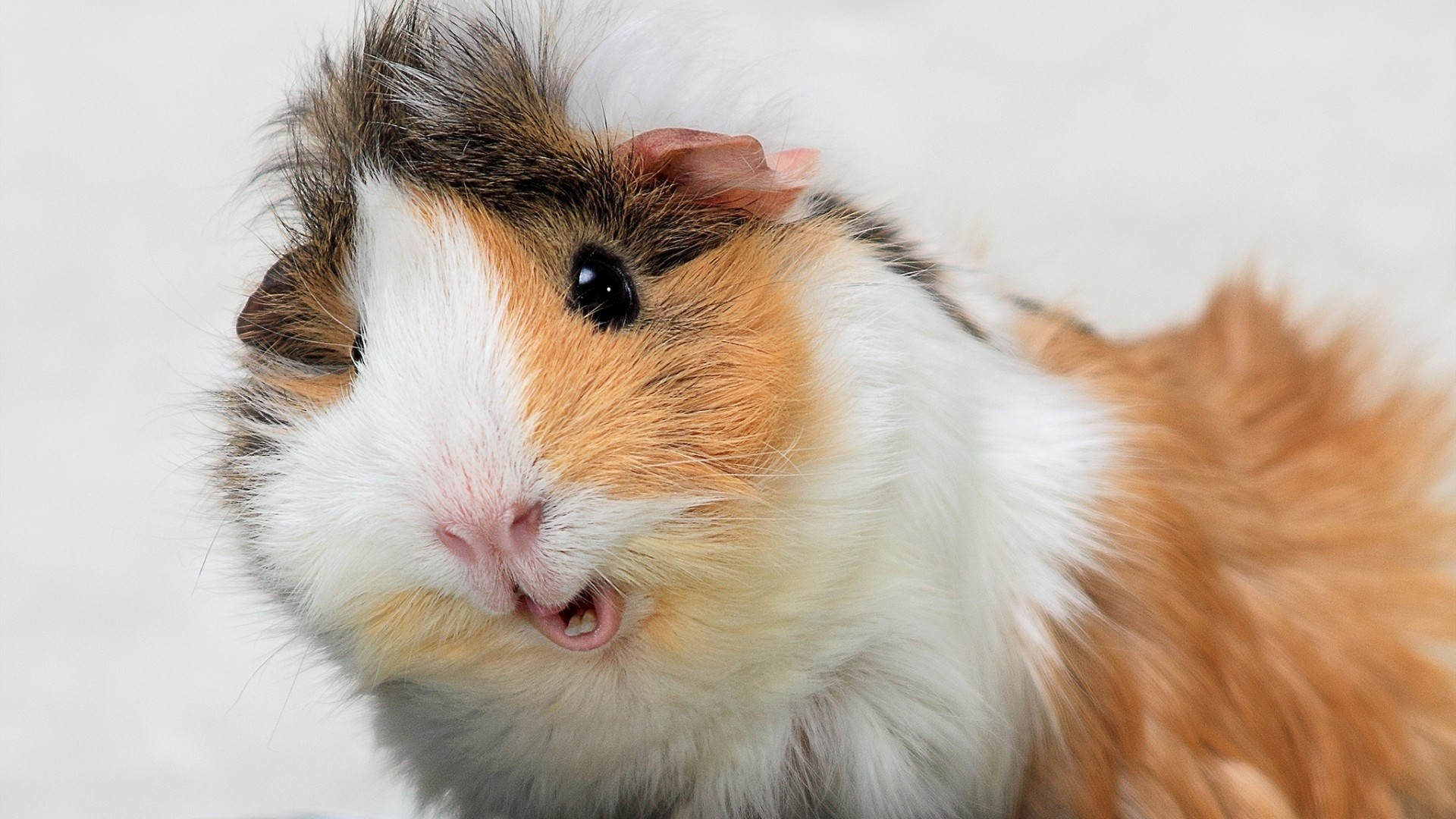 Wallpaper guinea pig, spotted, furry