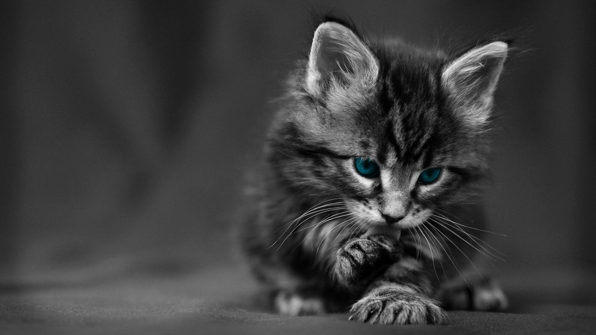 Wallpaper kitten, blue-eyed, furry, cat, wash