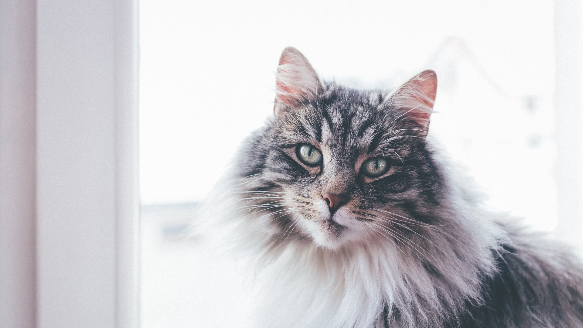 Wallpaper cat, furry, muzzle