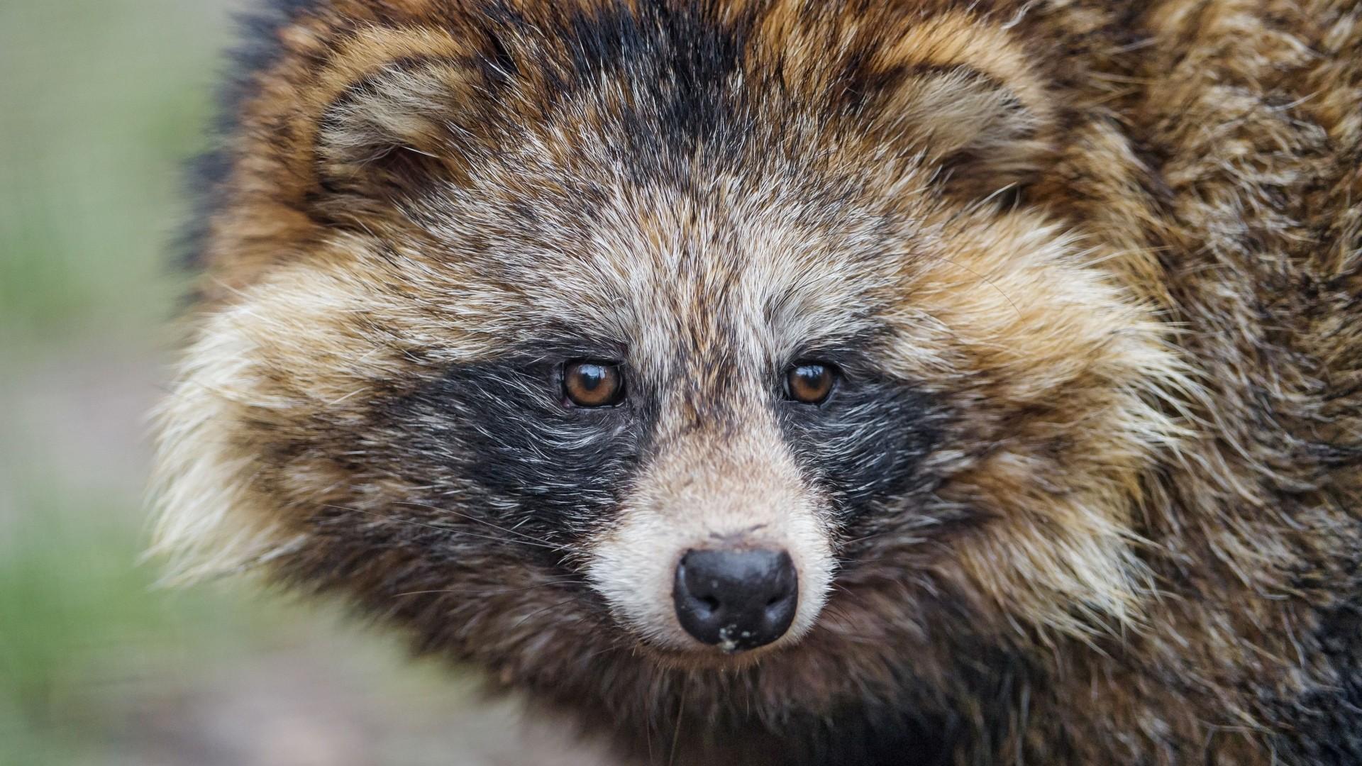 Preview wallpaper raccoon, snout, furry, mammal 1920×1080