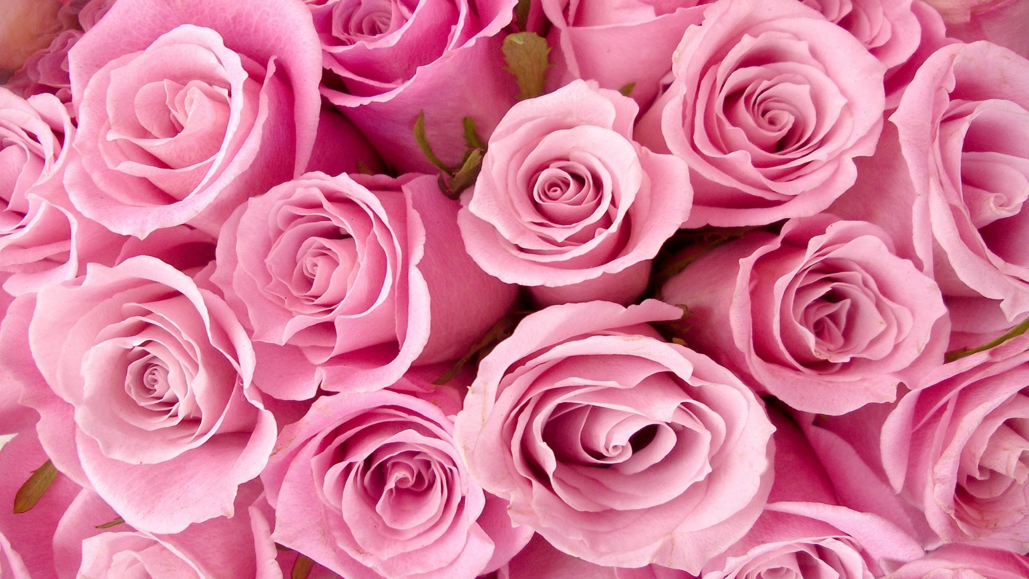 Wallpapers : Special Pink Roses #1289 2560×1600 pixel Exotic Wallpaper .