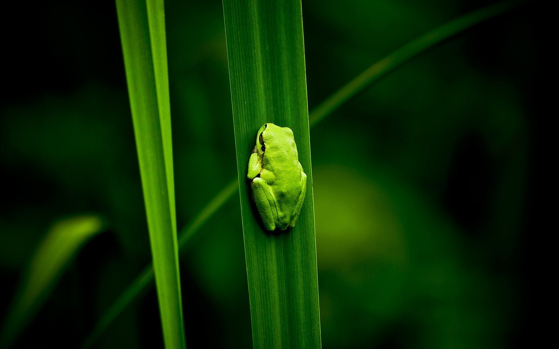 Frogs images Frog Wallpaper! HD wallpaper and background photos 1280×800  Frog Wallpaper (