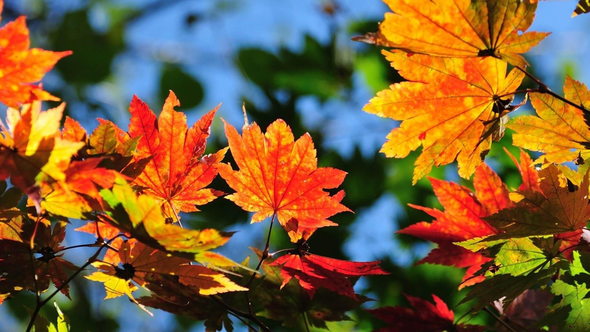 Windows 8.1 Theme HD wallpapers: beautiful autumn leaves #8 – 1920×1080.