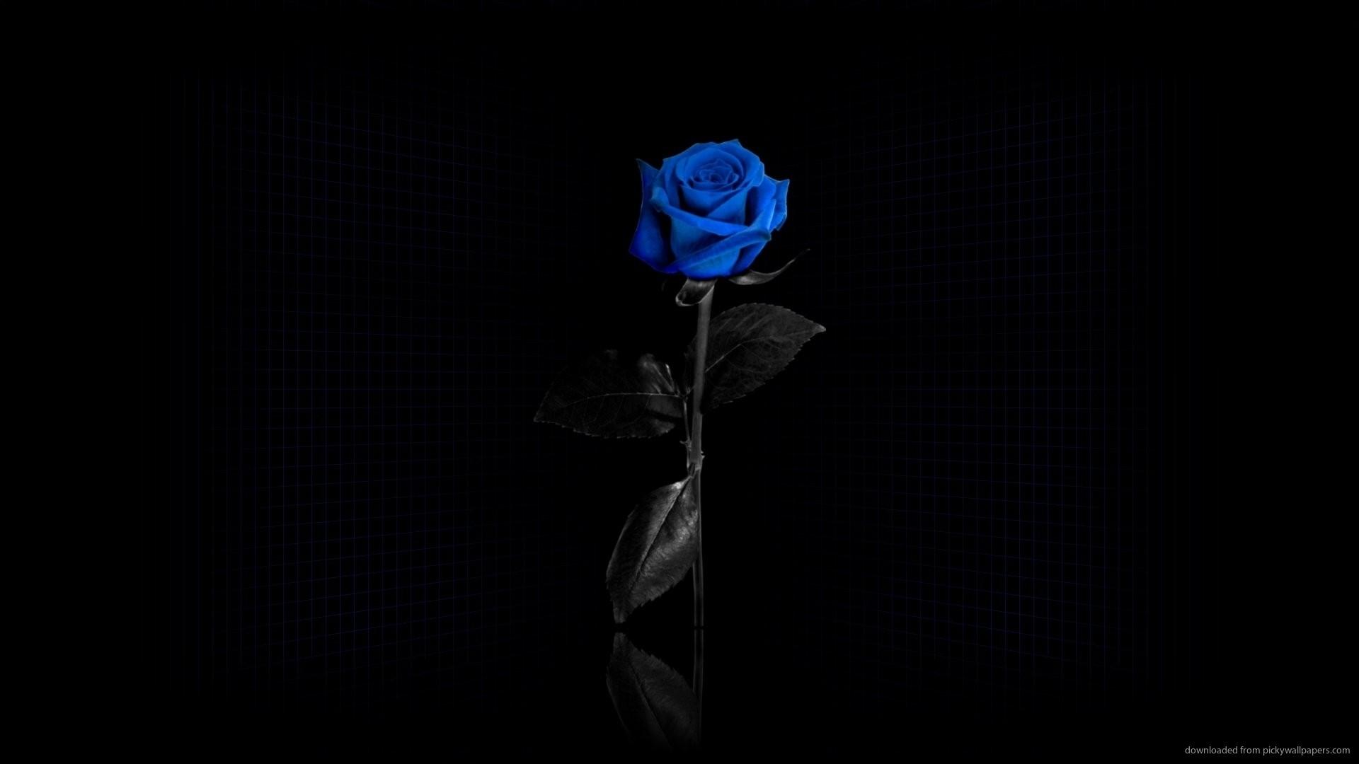 Single Blue Rose Desktop Wallpaper picture