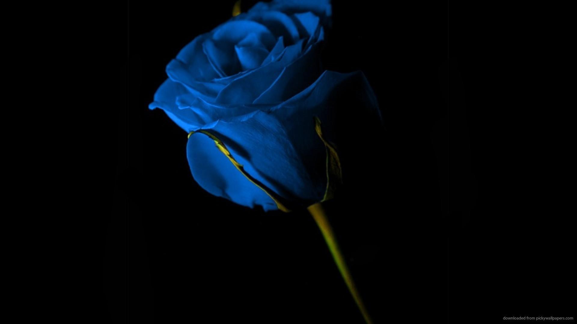 Single Blue Rose Wallpaper picture