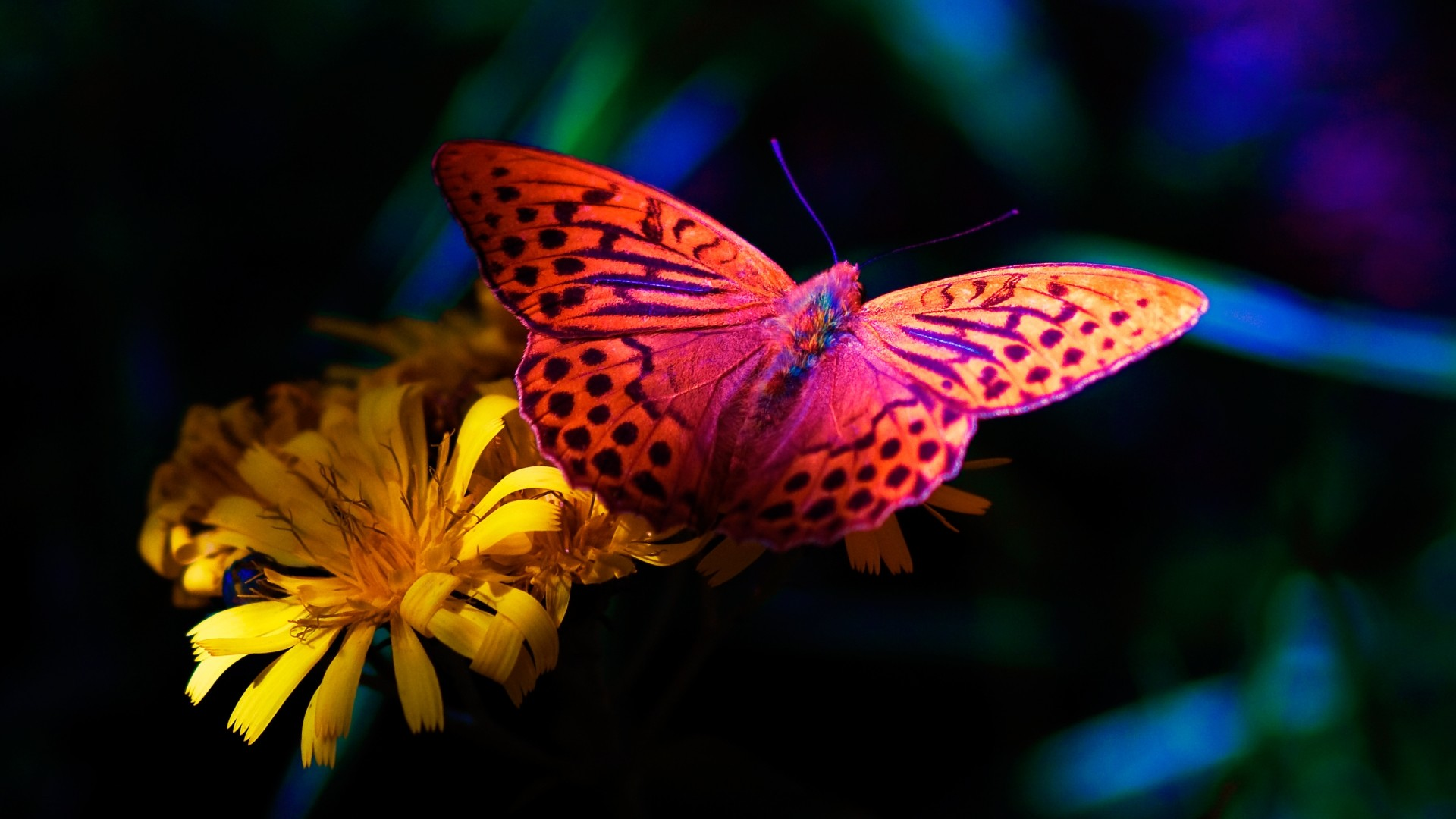 … Wallpaper Color Butterfly Fullscreen …