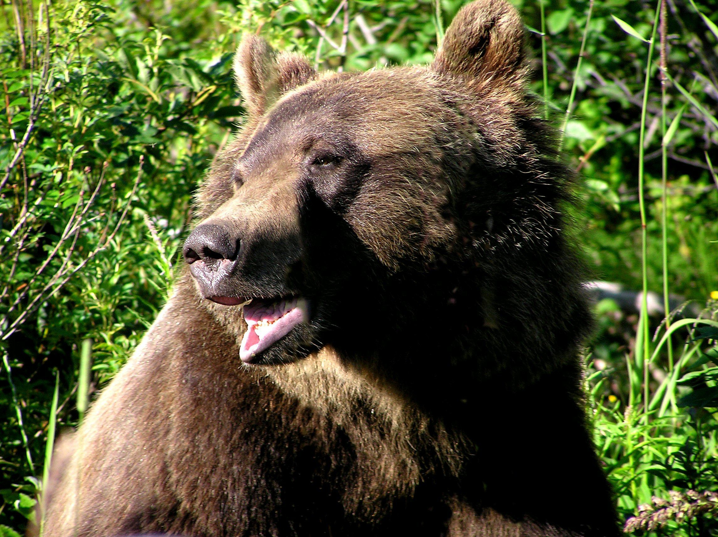 The photographs of brown bear, grizzly bears and black bears for your  computer desktop wallpaper
