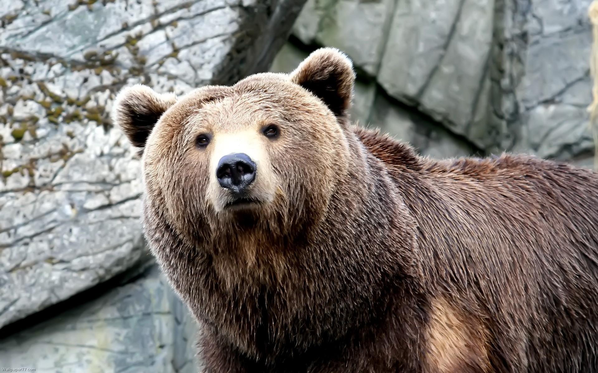 Filename: Wet-Brown-Bear-bear-1920×1200.jpg