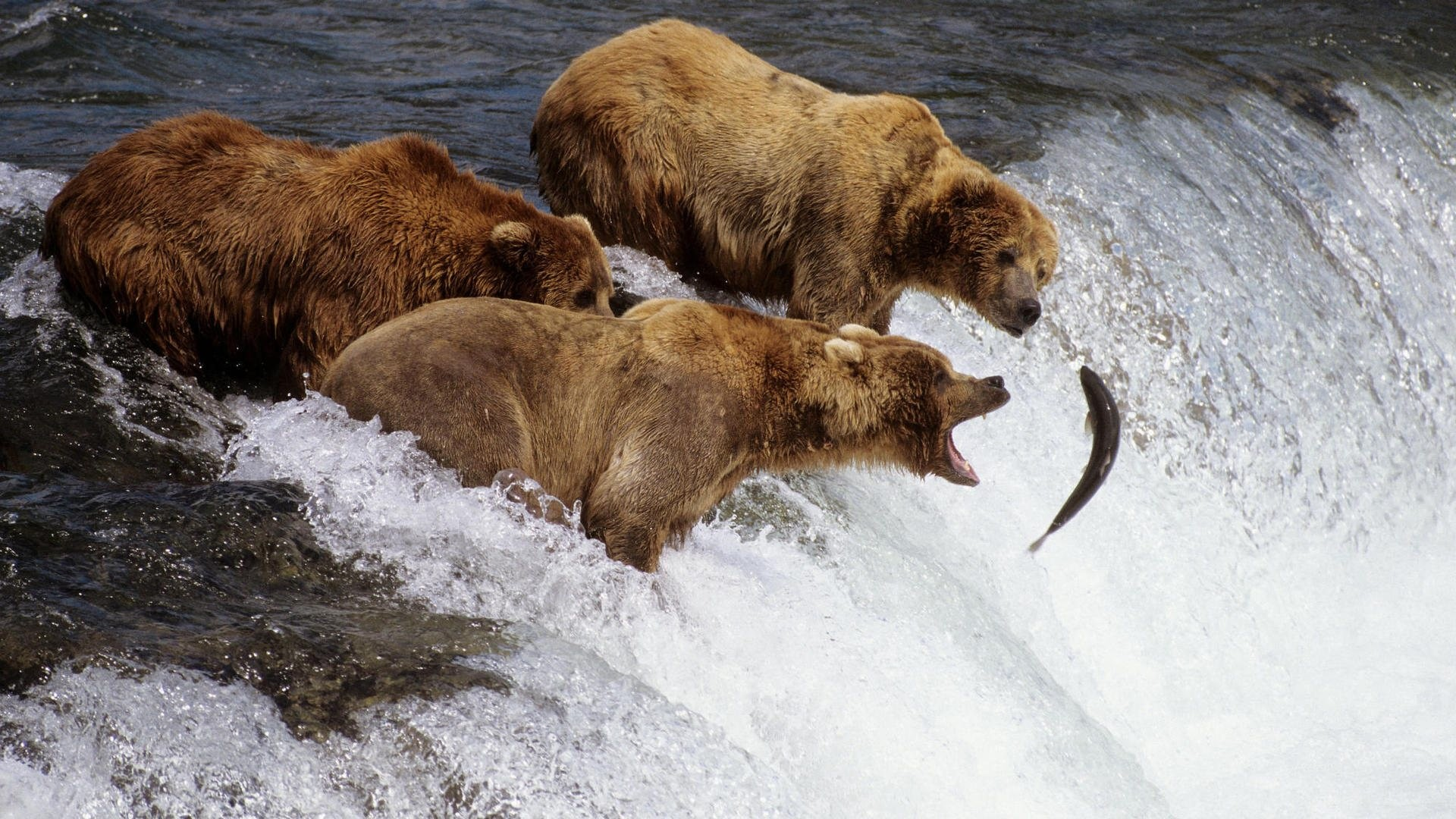 Download Grizzly Bears Out To Lunch wallpaper