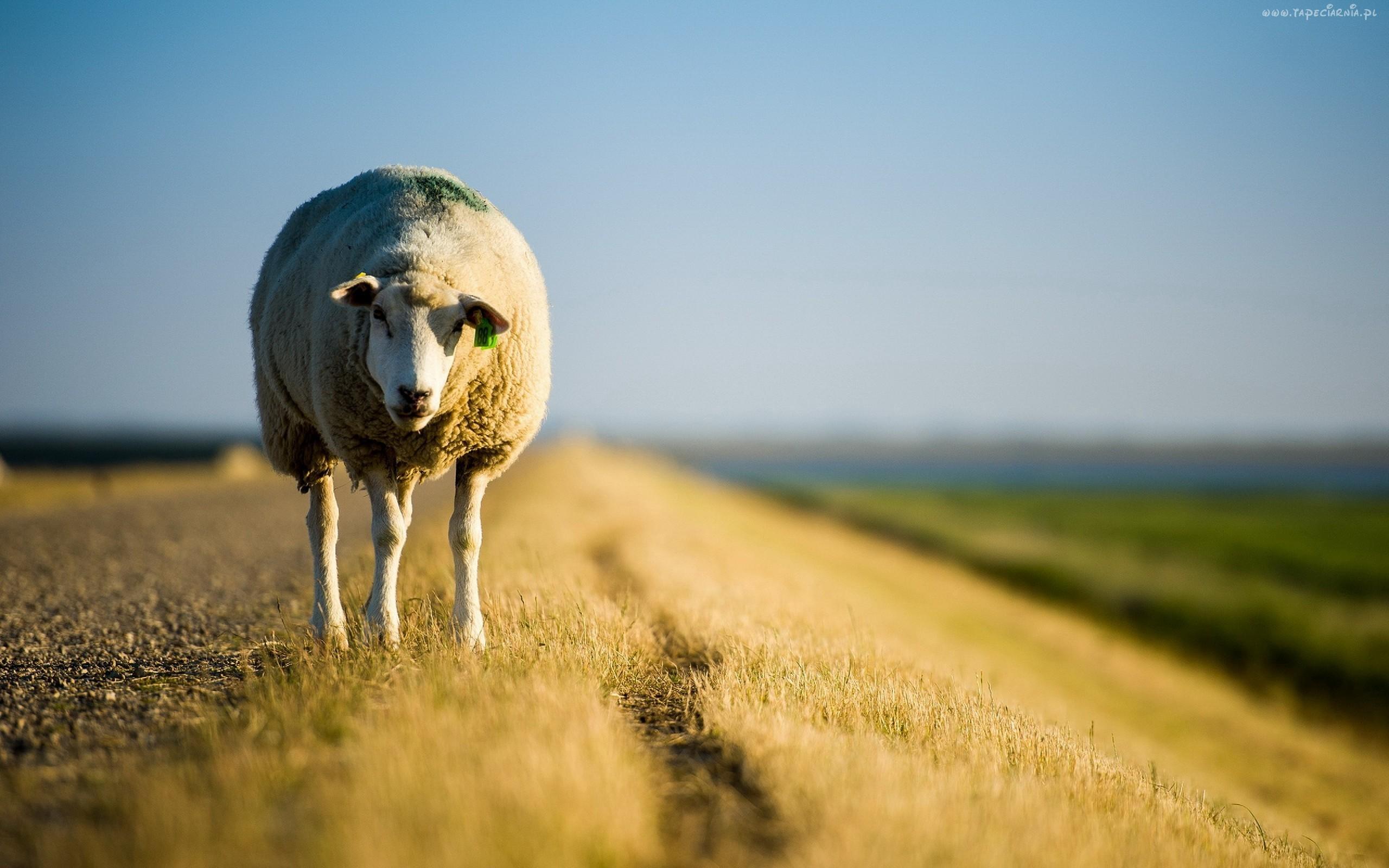Wilk jest syty, a owca cała tylko gdy ten pierwszy zapolu .