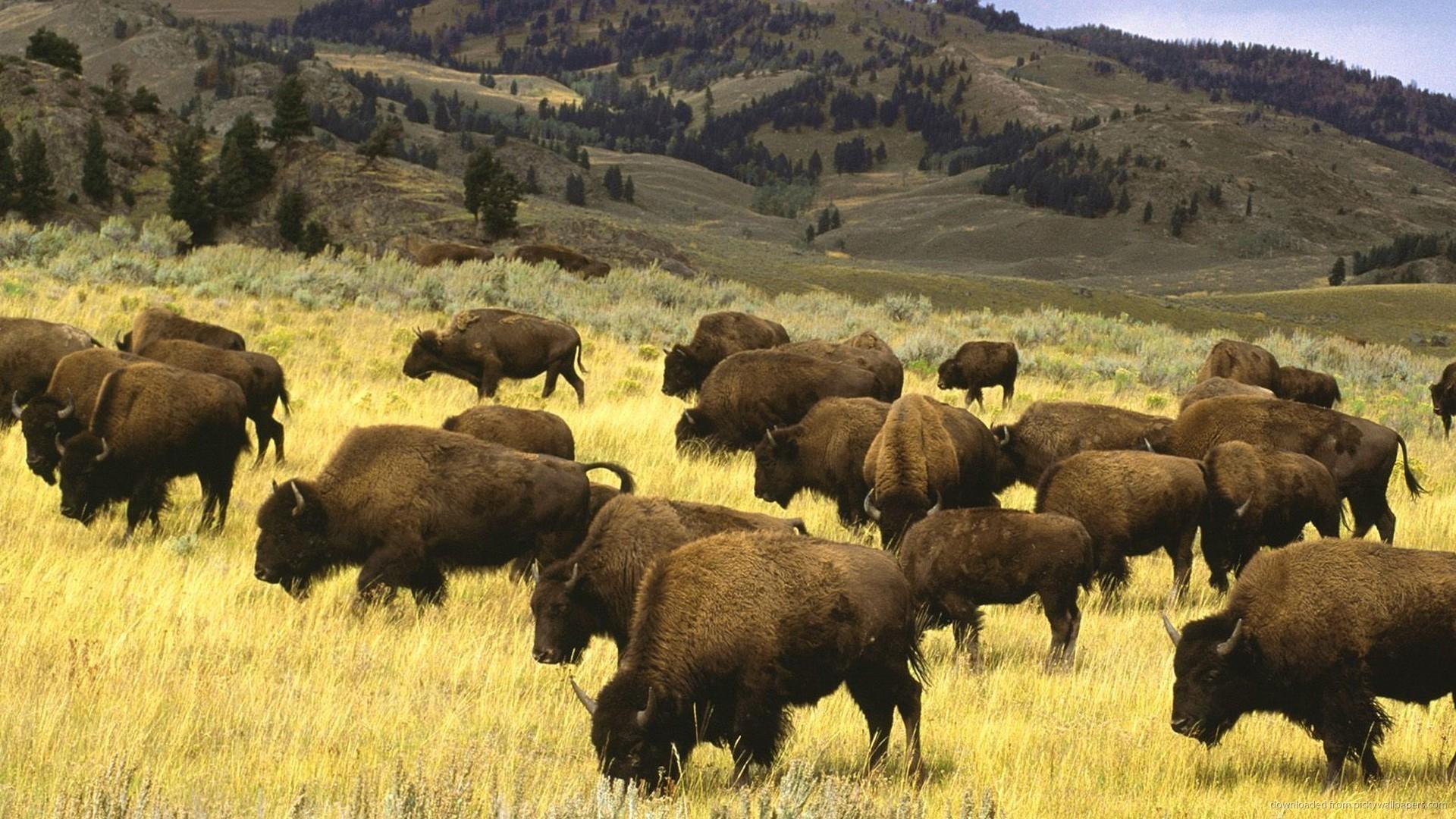 Bison Herd Desktop Wallpaper picture