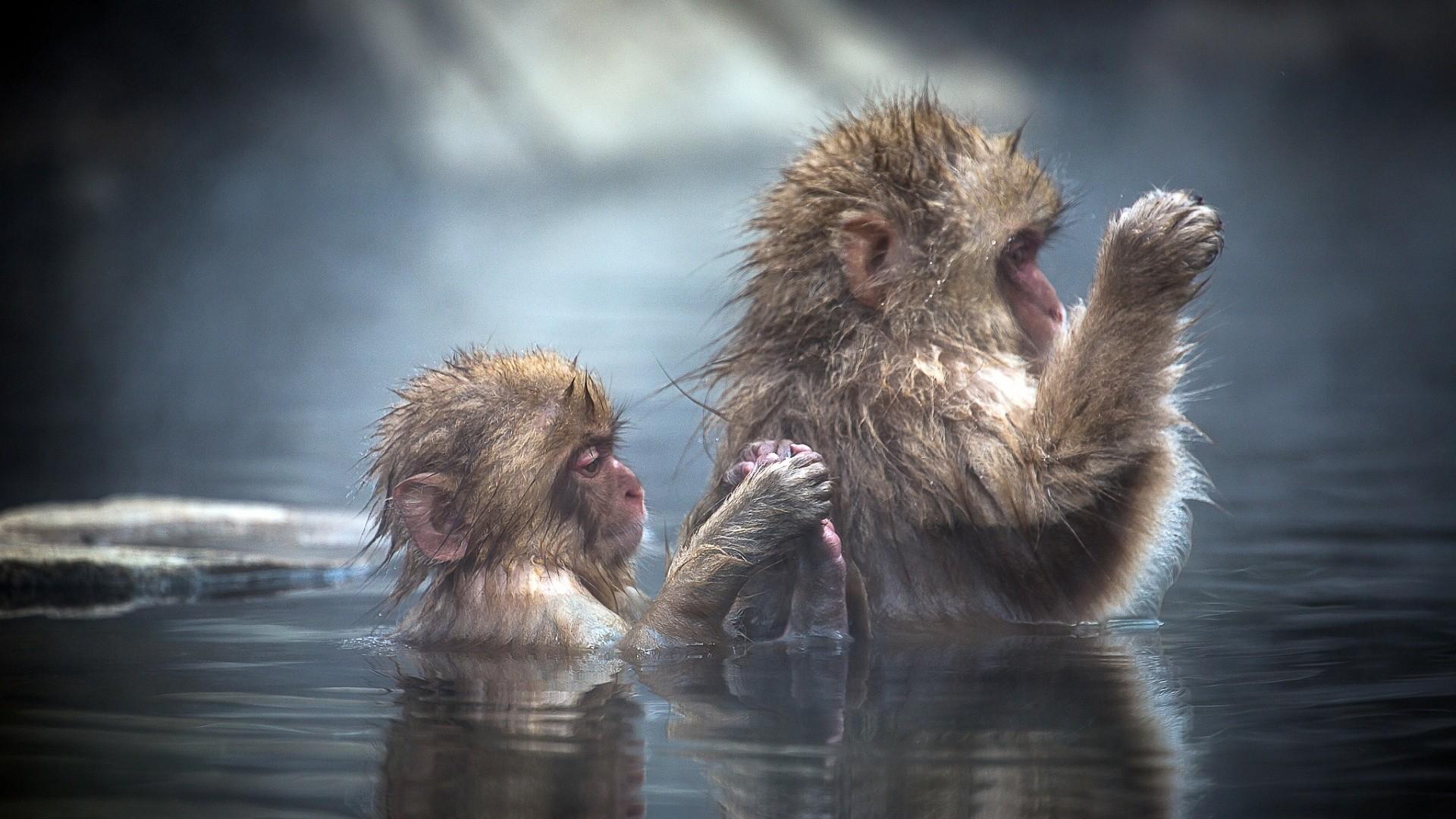 Bathing apes