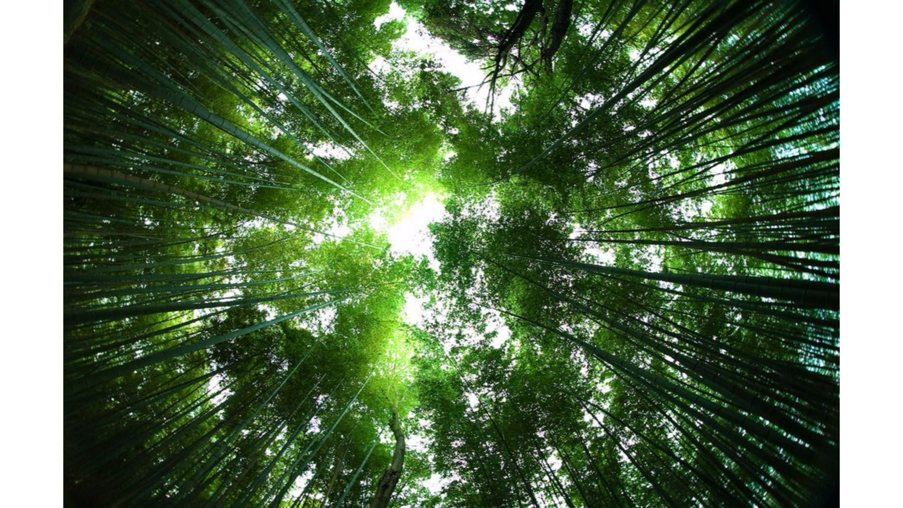 Sagano Bamboo Forest Japan 4K Wallpapers