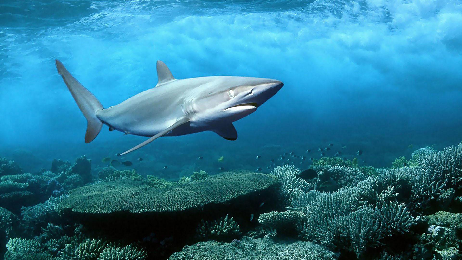 hd pics photos fish shark desktop background wallpaper