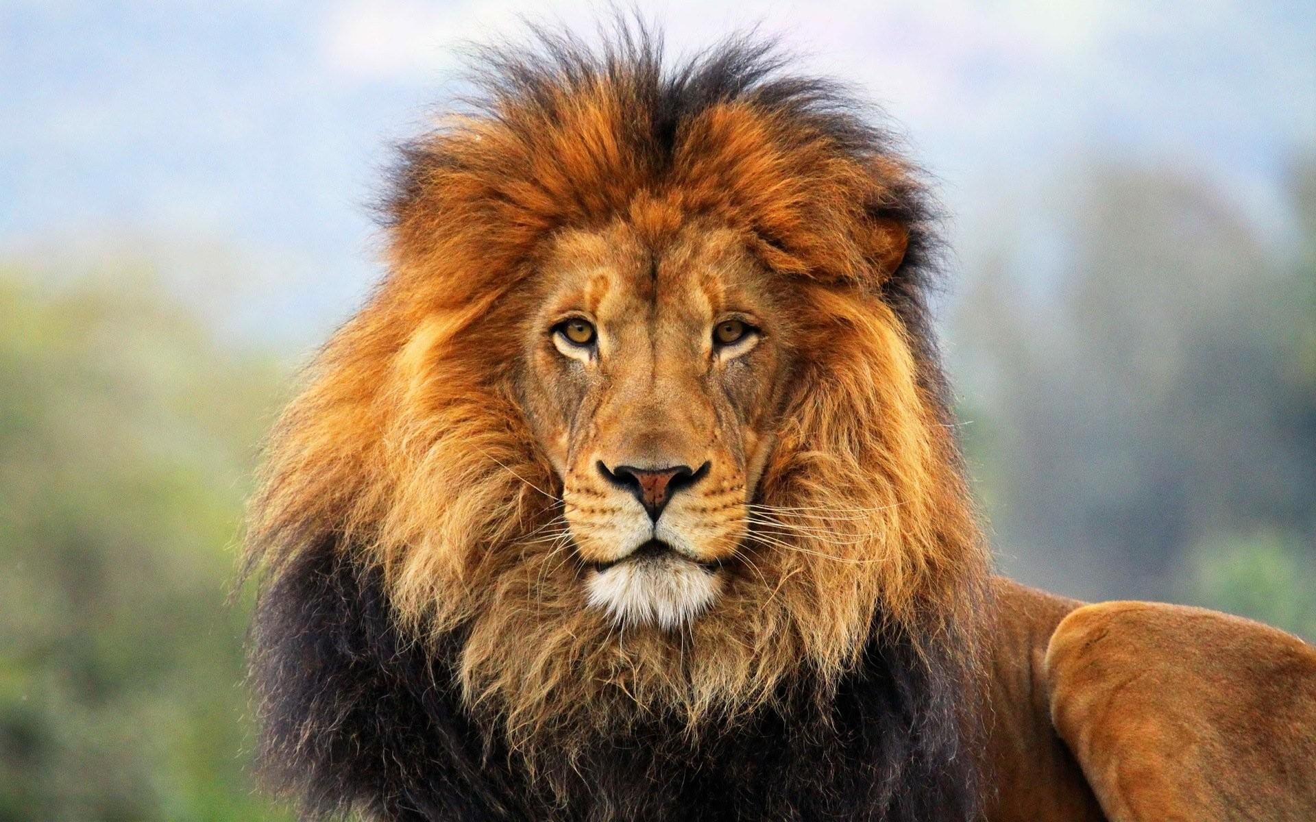 HD Lion Wallpaper
