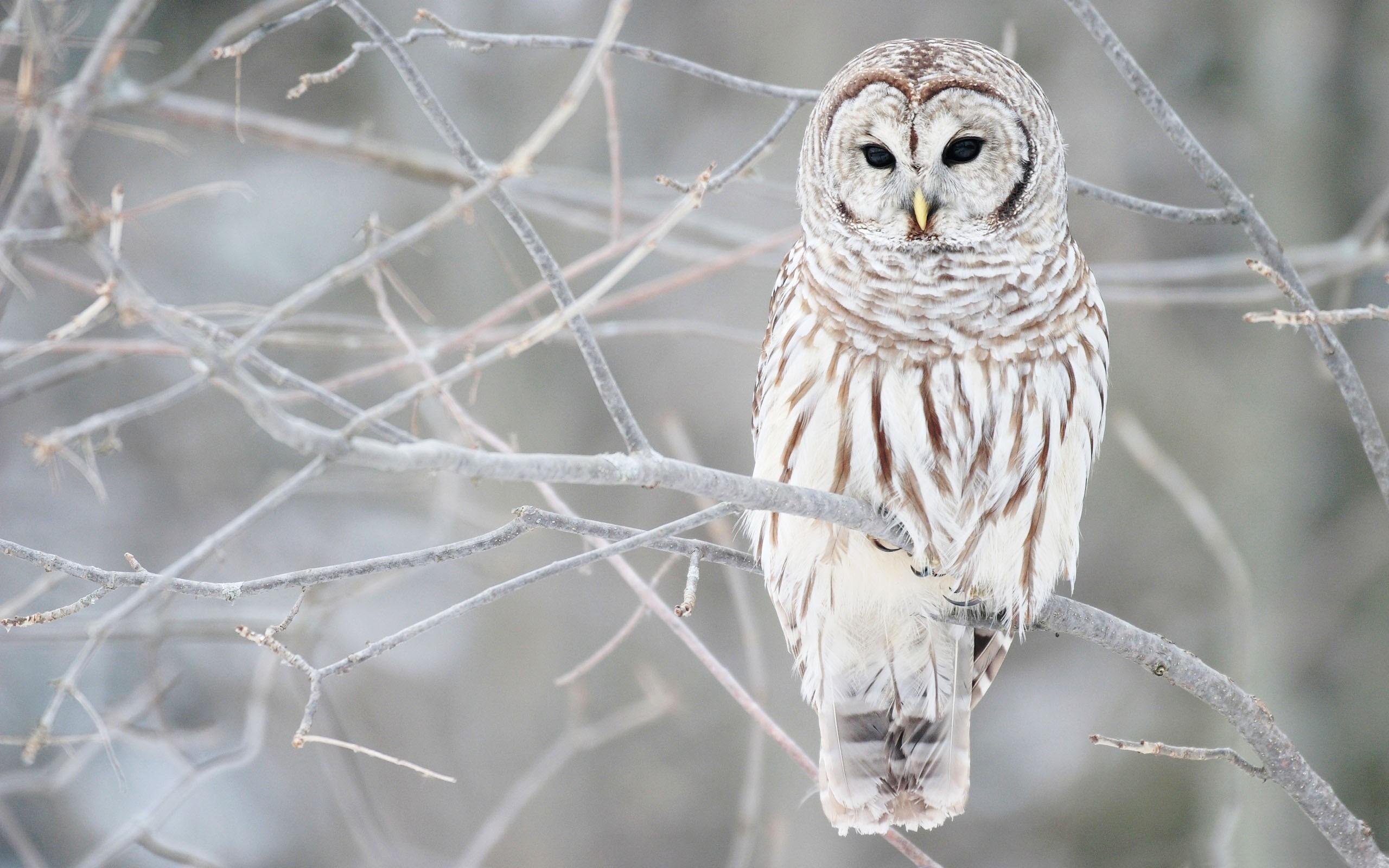 … Owl Wallpaper HD …