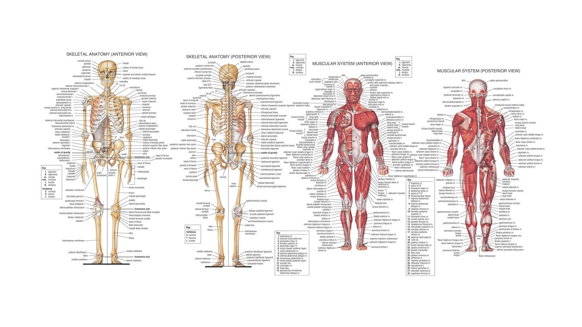 Human Anatomy HD Wallpaper. « »