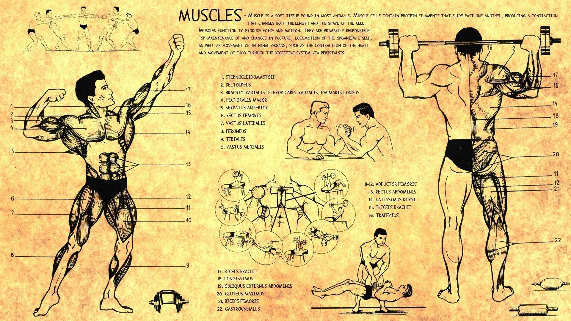 Anatomy Body Bodybuilding Health Human Muscles Scheme Training