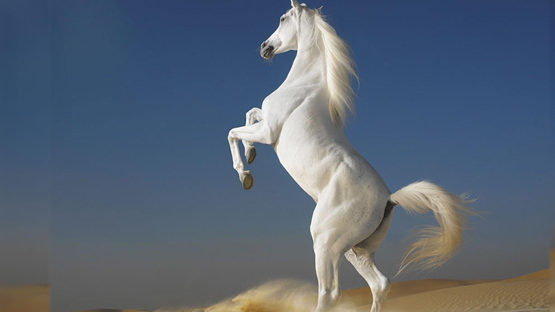 white horse best hd desktop wallpapers free