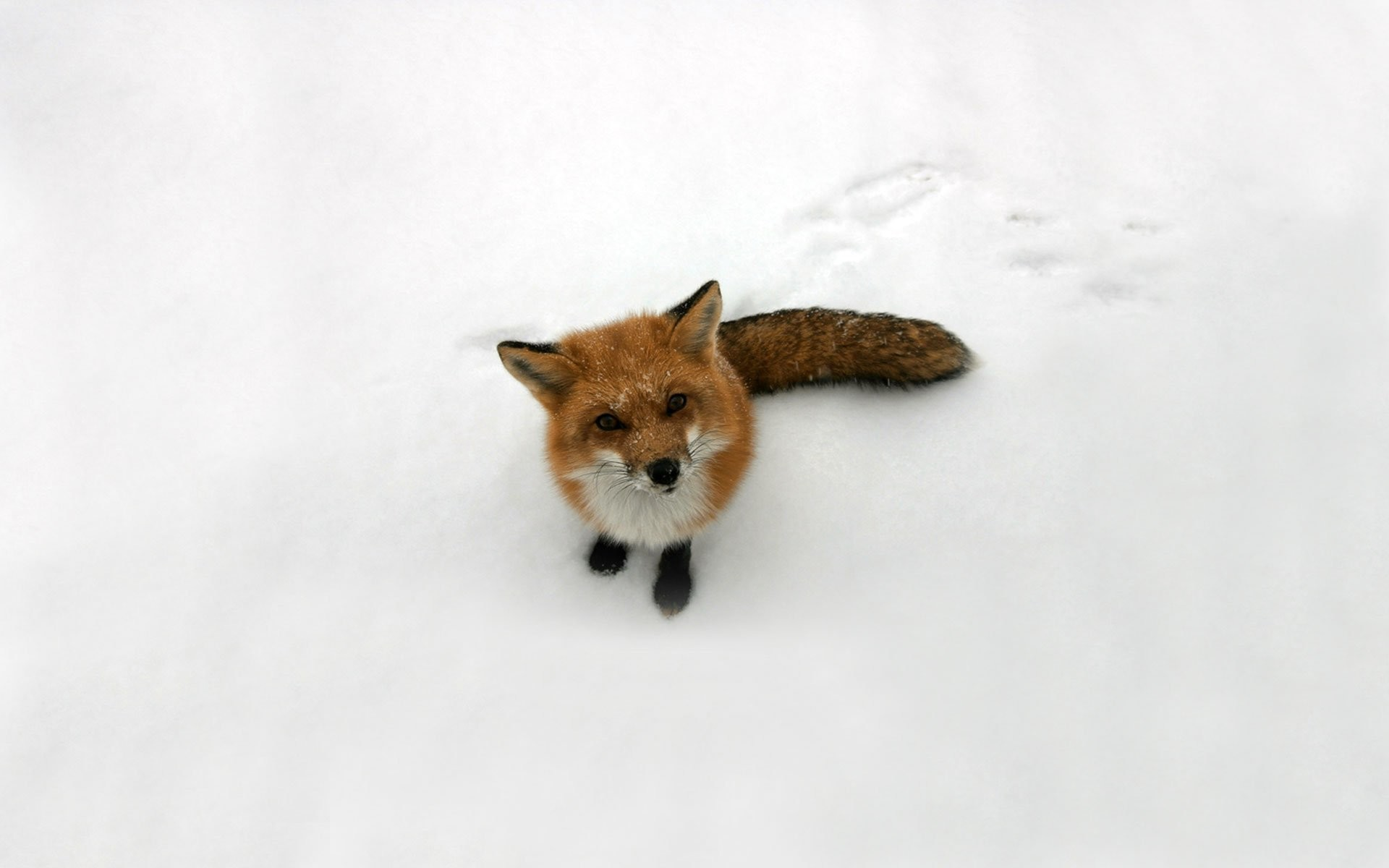 Fox Snow. SHARE. TAGS: Backgrounds Background Cute Winter